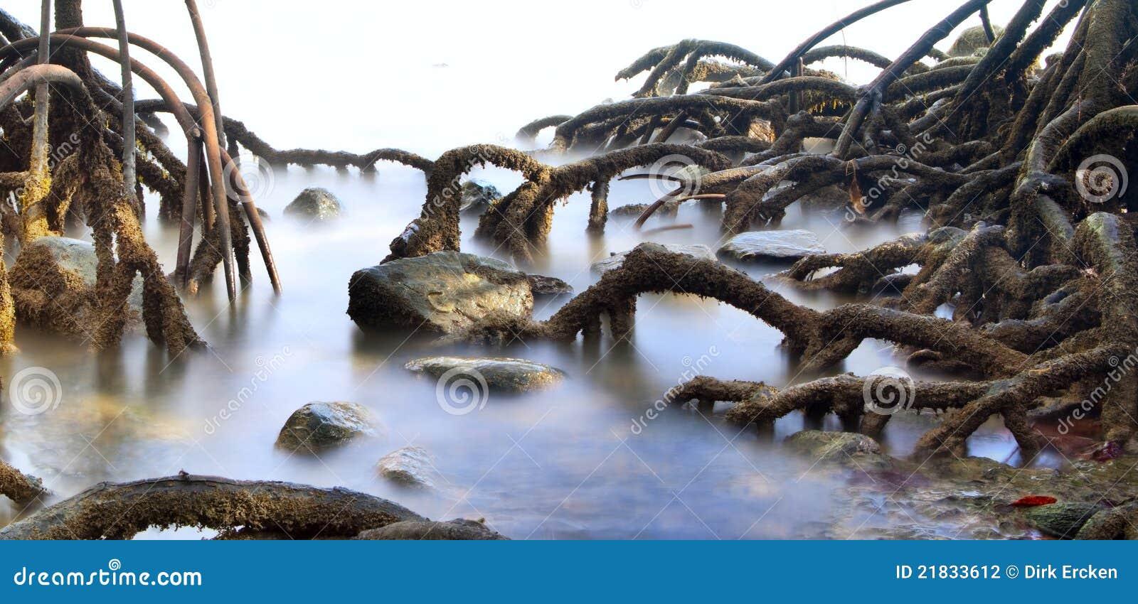 Radici della palude della foresta dell albero della mangrovia