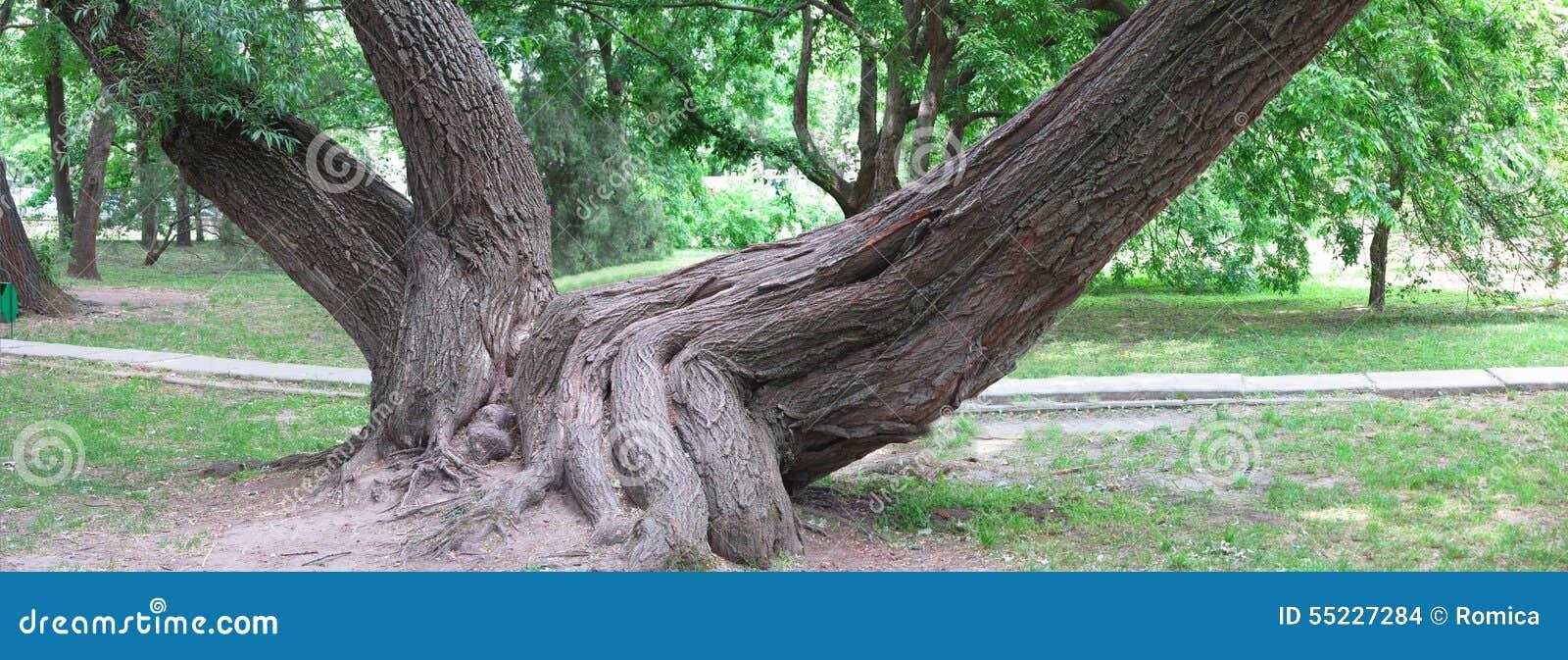 Radici enormi di vecchio albero in parco verde, immagine di panorama