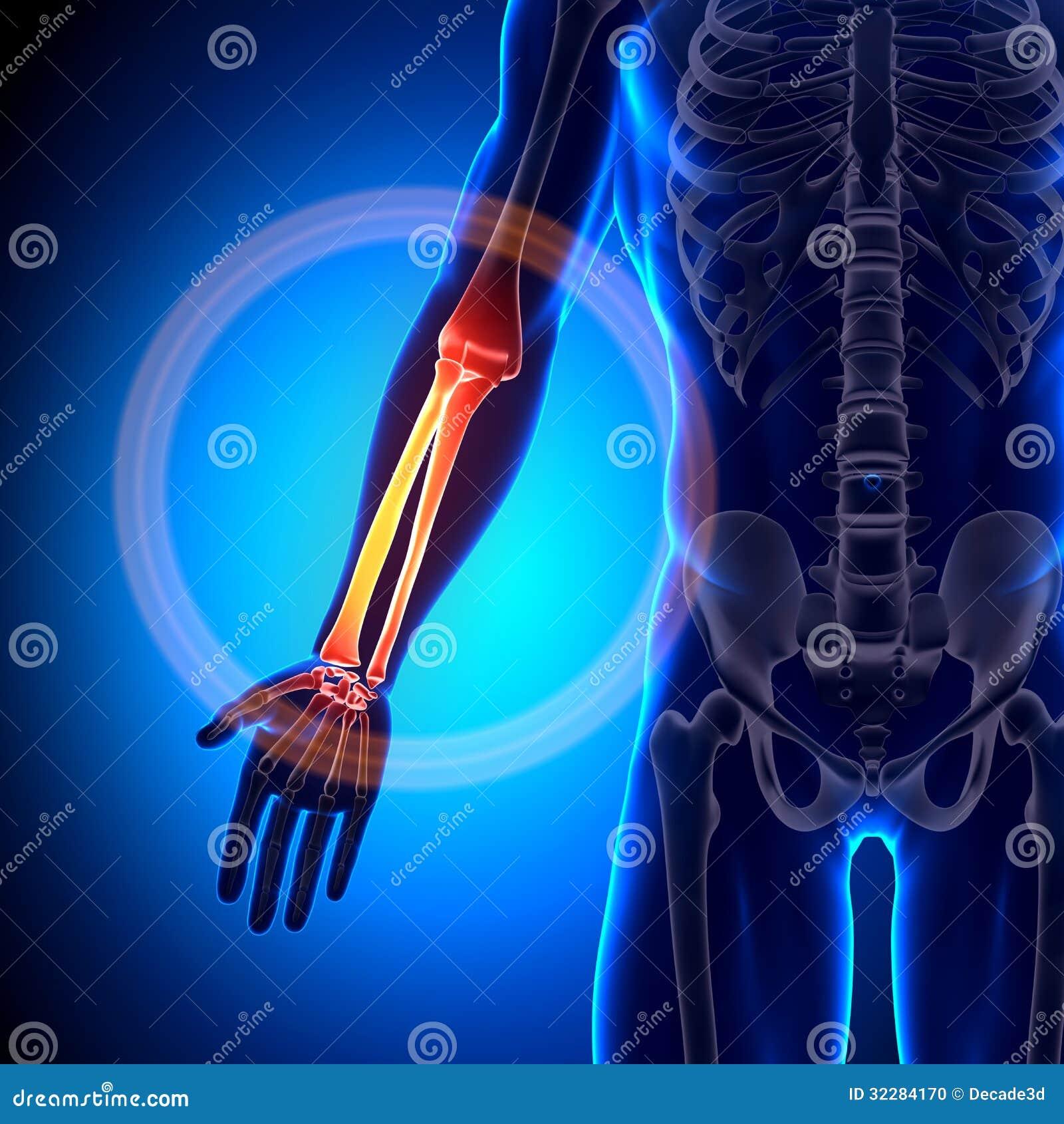 Radio/cúbito - Huesos De La Anatomía Stock de ilustración ...