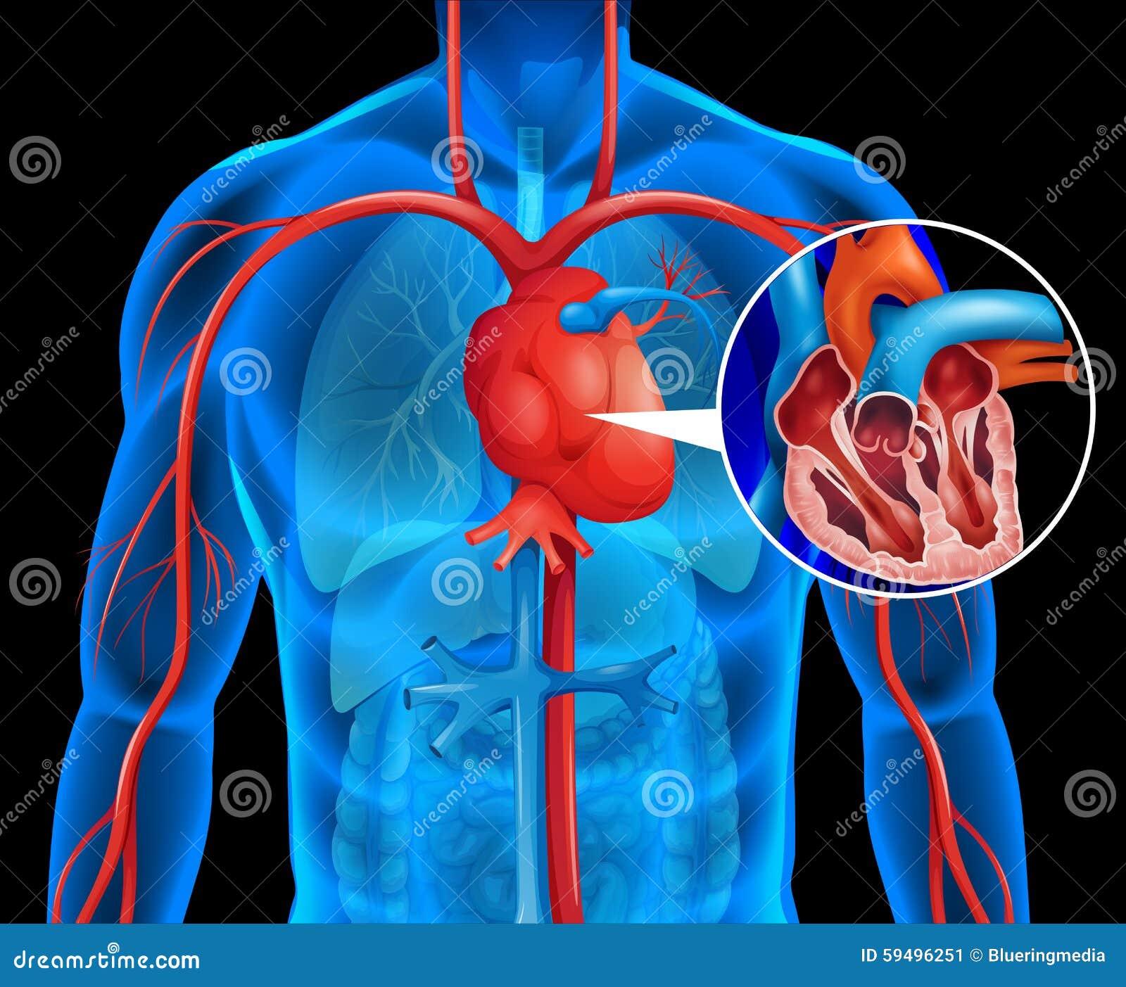 Radiografías Del Corazón Humano Ilustración Del Vector Ilustración