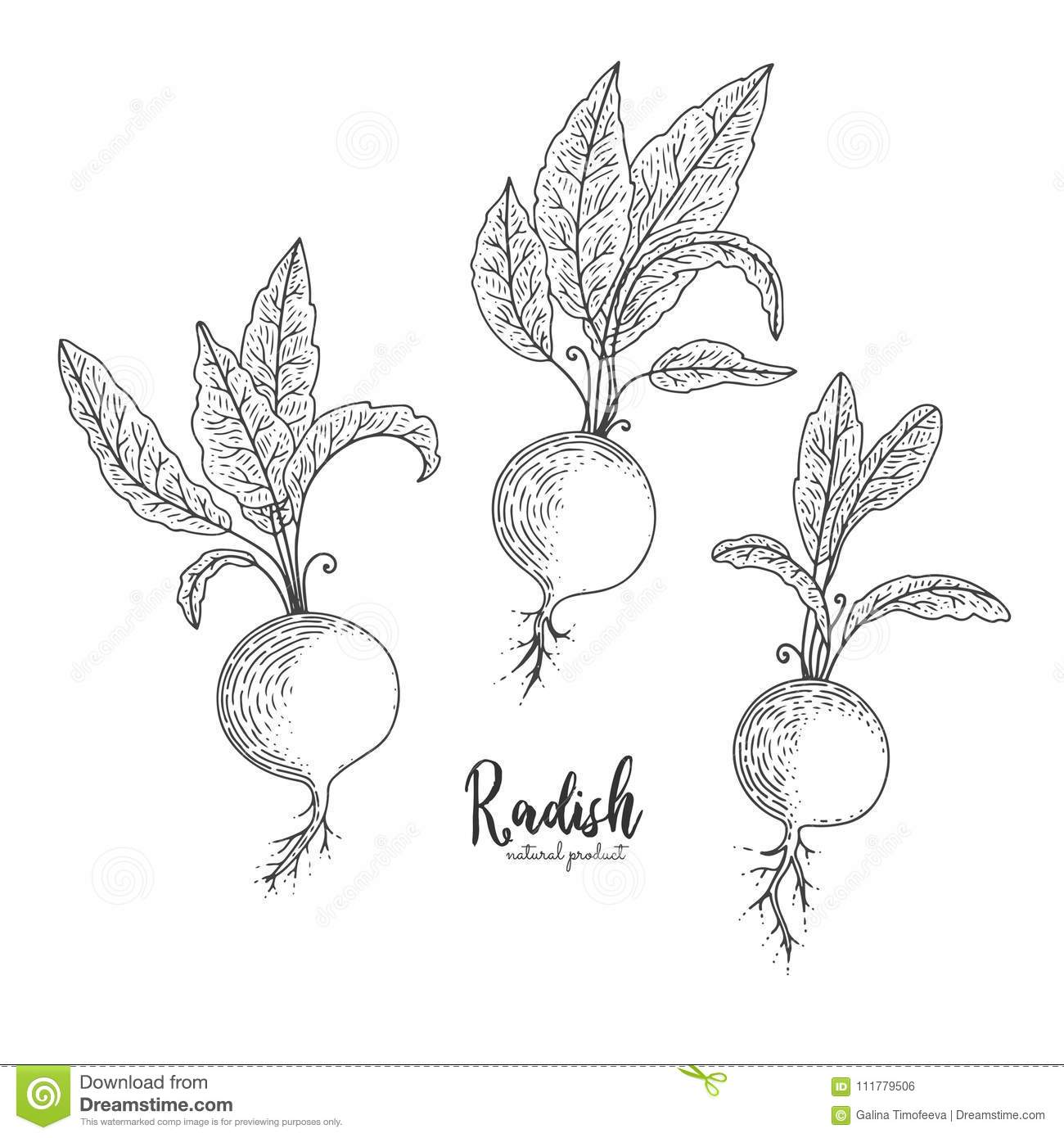Radish hand drawn vector illustration. Isolated vegetable engraved style object. Detailed vegetarian food drawing. Farm