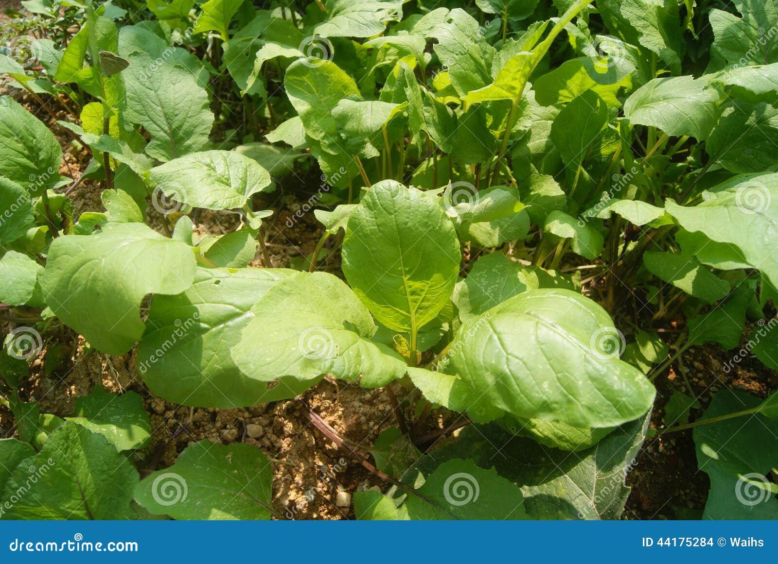 how to grow radish in backyard