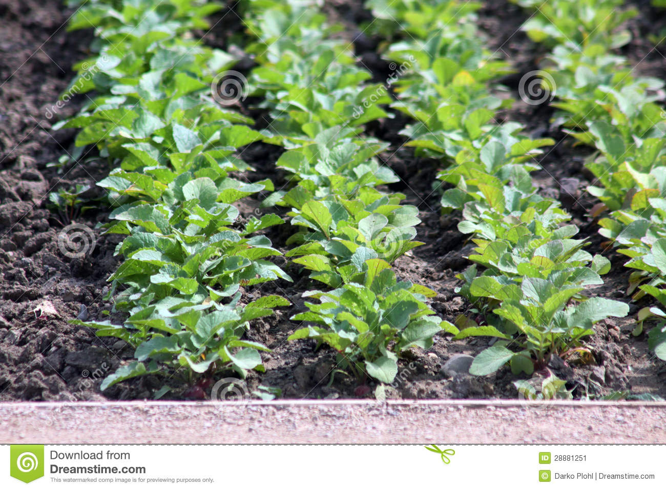 radish plants rows on the garden bed stock image image