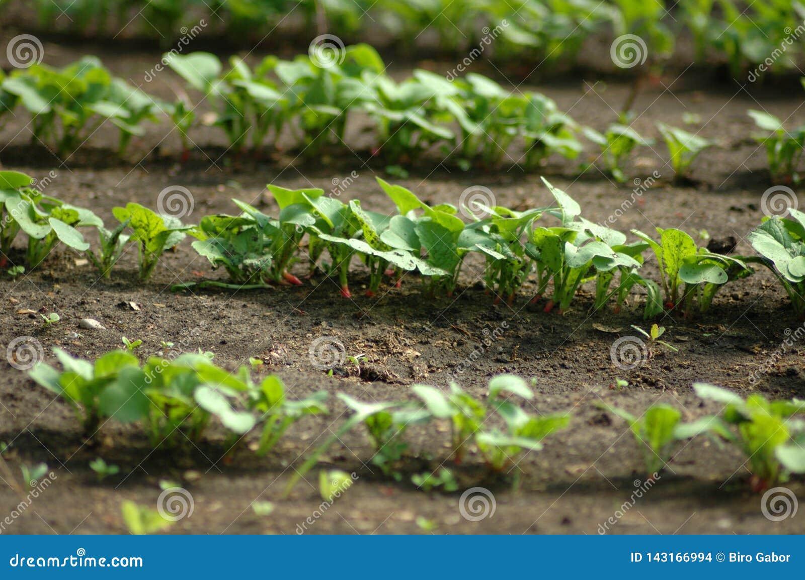 Radish seedling rows in spring.