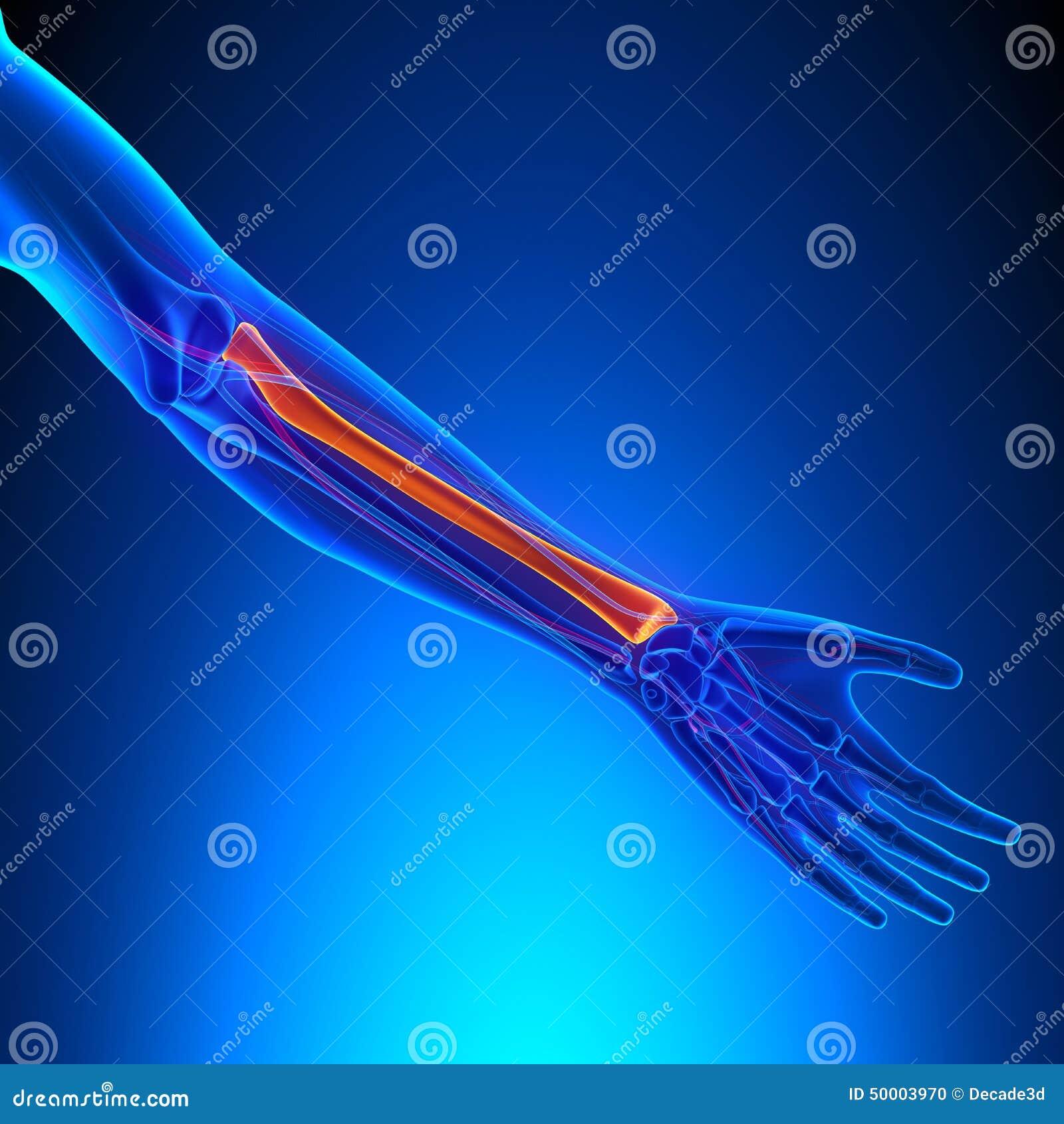 Radius Anatomy Bone With Ciculatory System Stock Photo Image Of