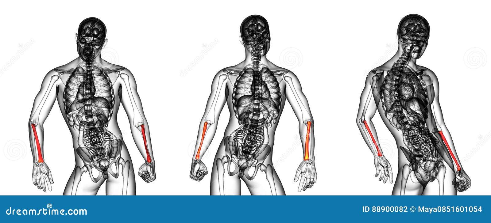 Radius Bone Stock Illustration Illustration Of Skeleton 88900082