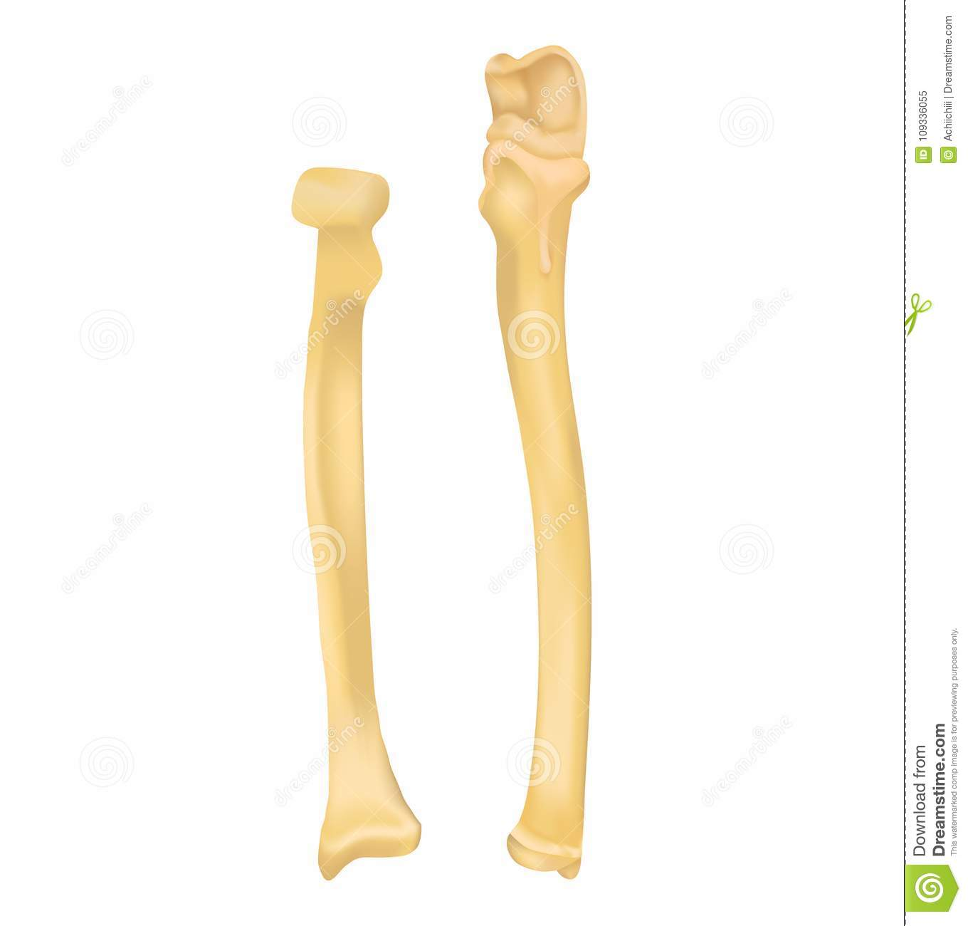 Radius and ulna bone stock vector. Illustration of human - 109336055