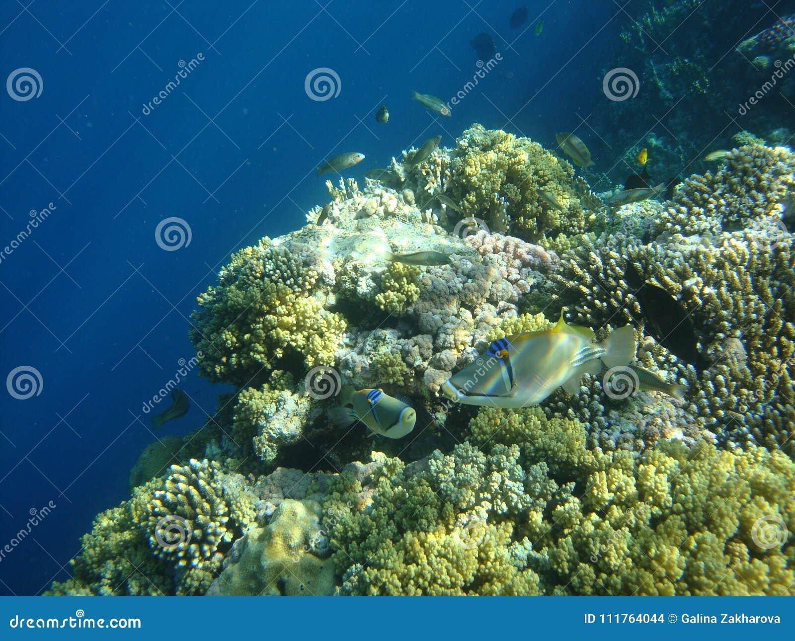 Rafa Koralowa Zdjęcie Stock Obraz Złożonej Z Plakat 111764044