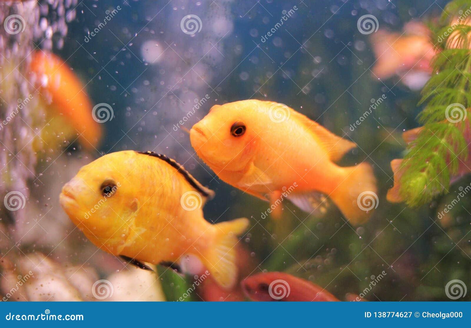 Rafa koralowa, dwa ryba w wodzie, czerwień, złota ryba