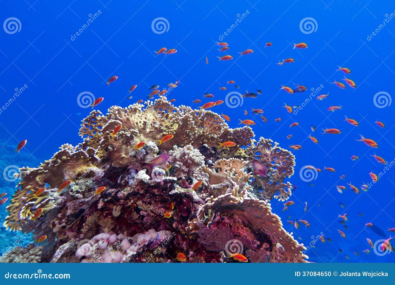 Download Rafa Koralowa Przy Dnem Tropikalny Morze Z Egzotem łowi Anthias I Pożarniczego Koral Na Błękitne Wody Tle Zdjęcie Stock - Obraz złożonej z nadwodny, bąble: 37084650