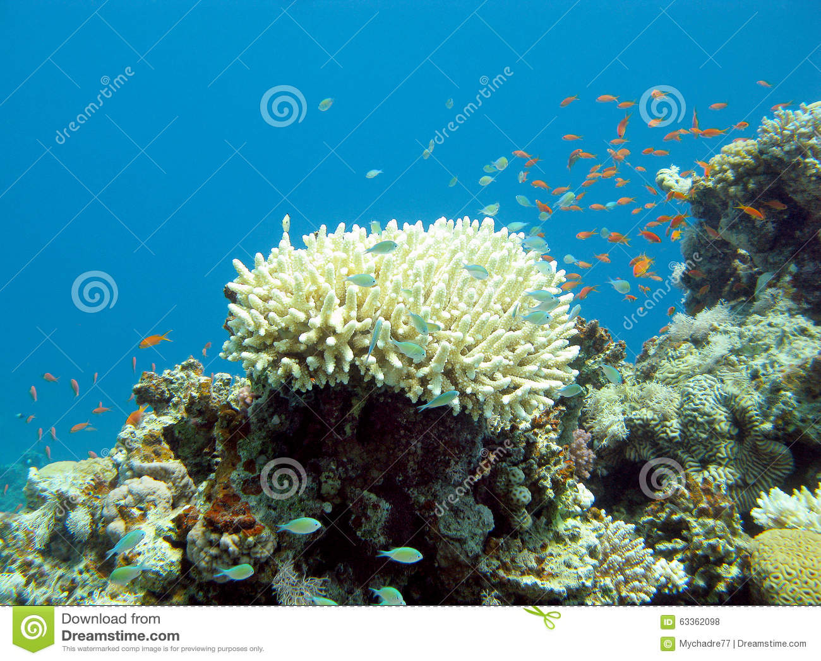 Rafa koralowa z egzotem łowi w tropikalnym morzu, podwodnym