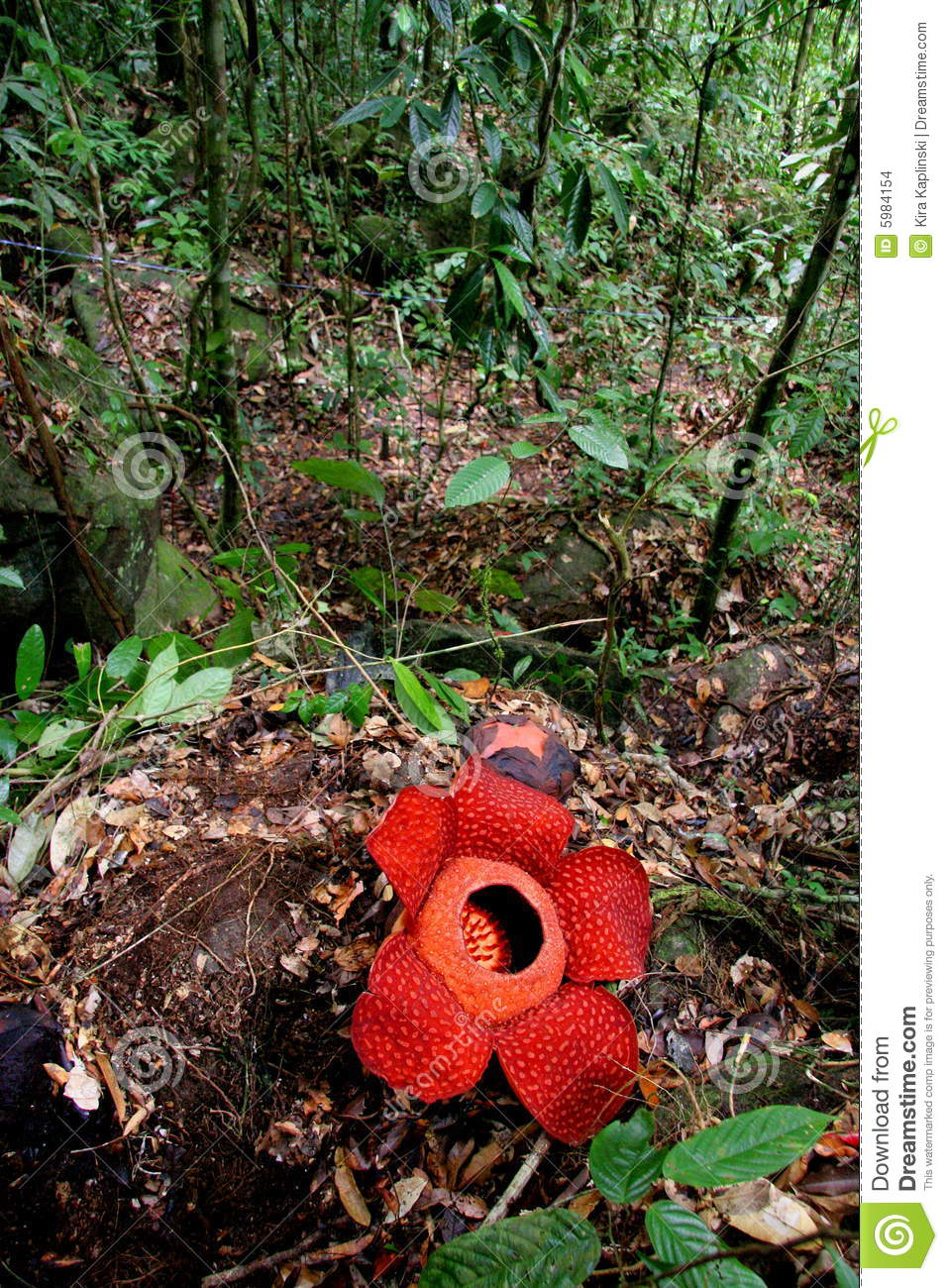 Rafflesia The Biggest Flower In The World Stock Images