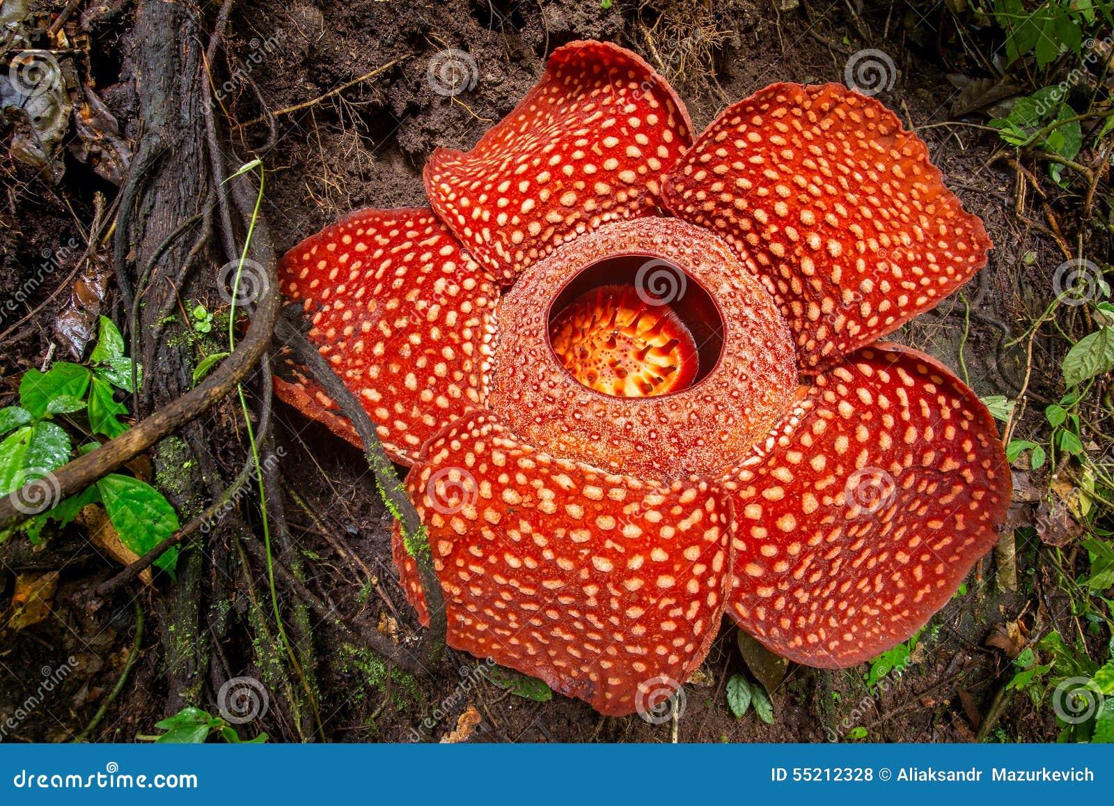 Rafflesia The Biggest Flower In The World Sumatra Stock