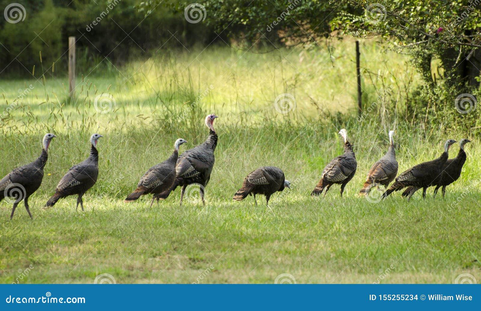 Rafter Of Wild Turkey In Oconee County Georgia Stock Photo Image Of Five Male 155255234