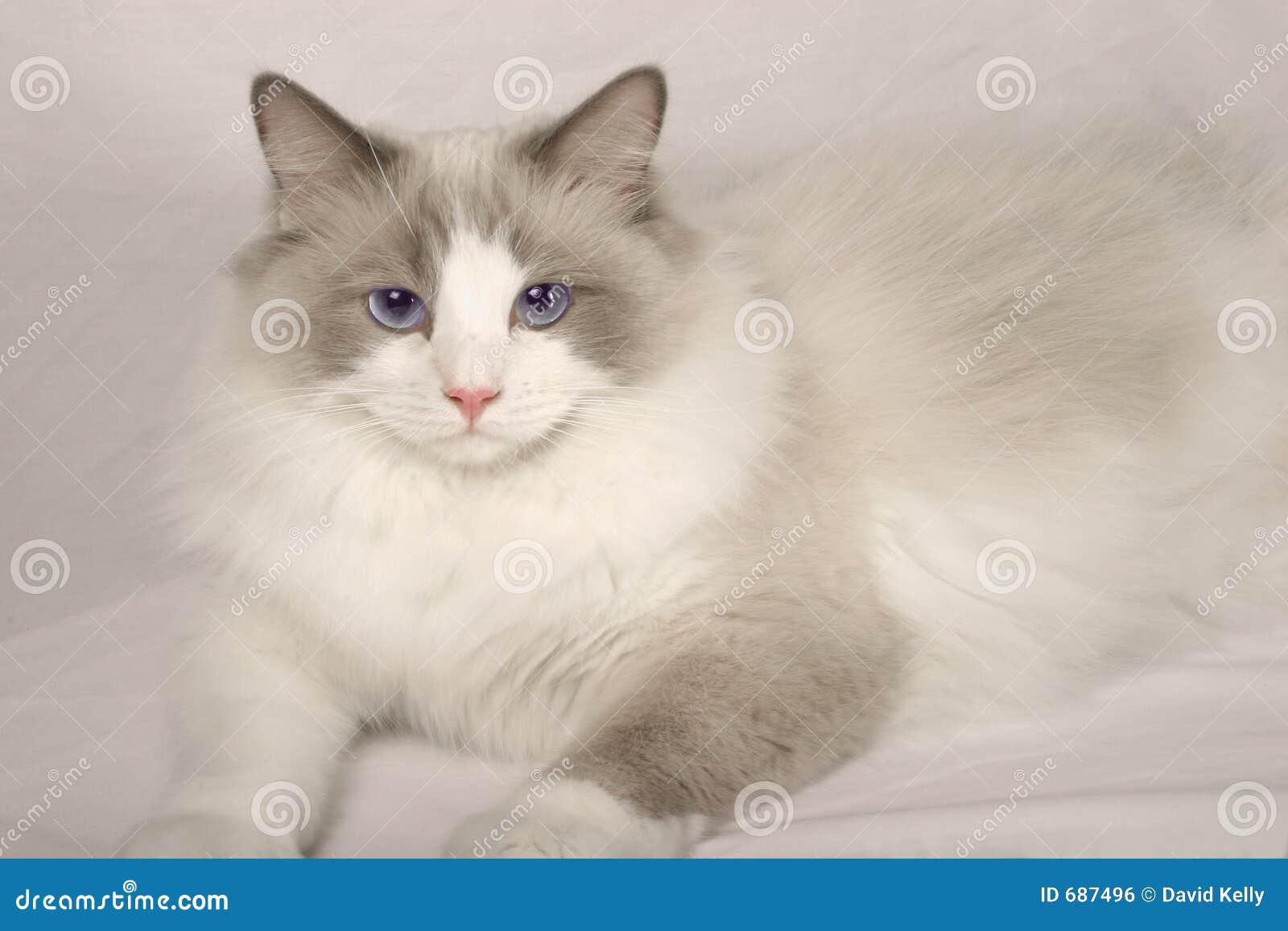Rag Doll Cat Royalty Free Stock Image - Image: 687496