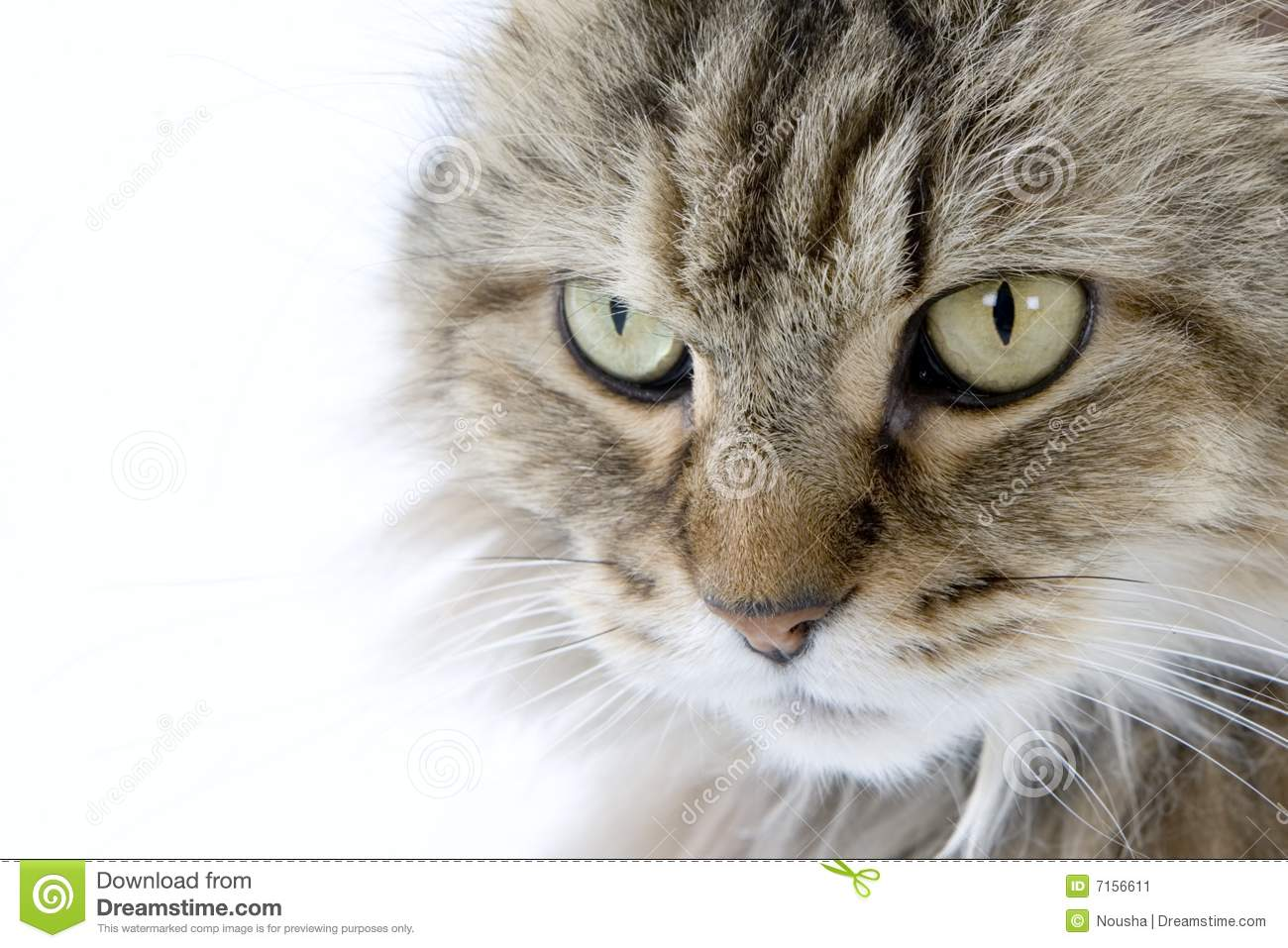 Ragamuffin Stock Image - Image: 7156611 Gray And White Cat With Green Eyes