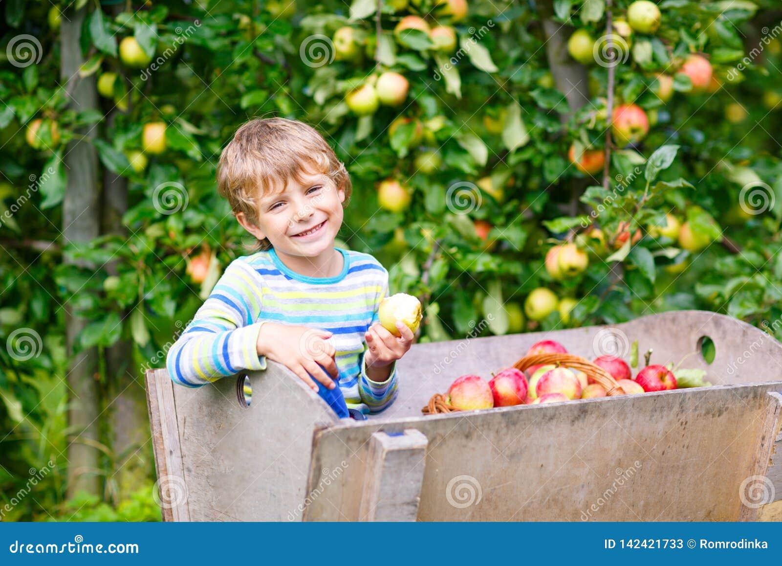 Ragazzo biondo felice attivo del bambino che seleziona e che mangia le mele rosse sull azienda agricola organica, autunno all ape