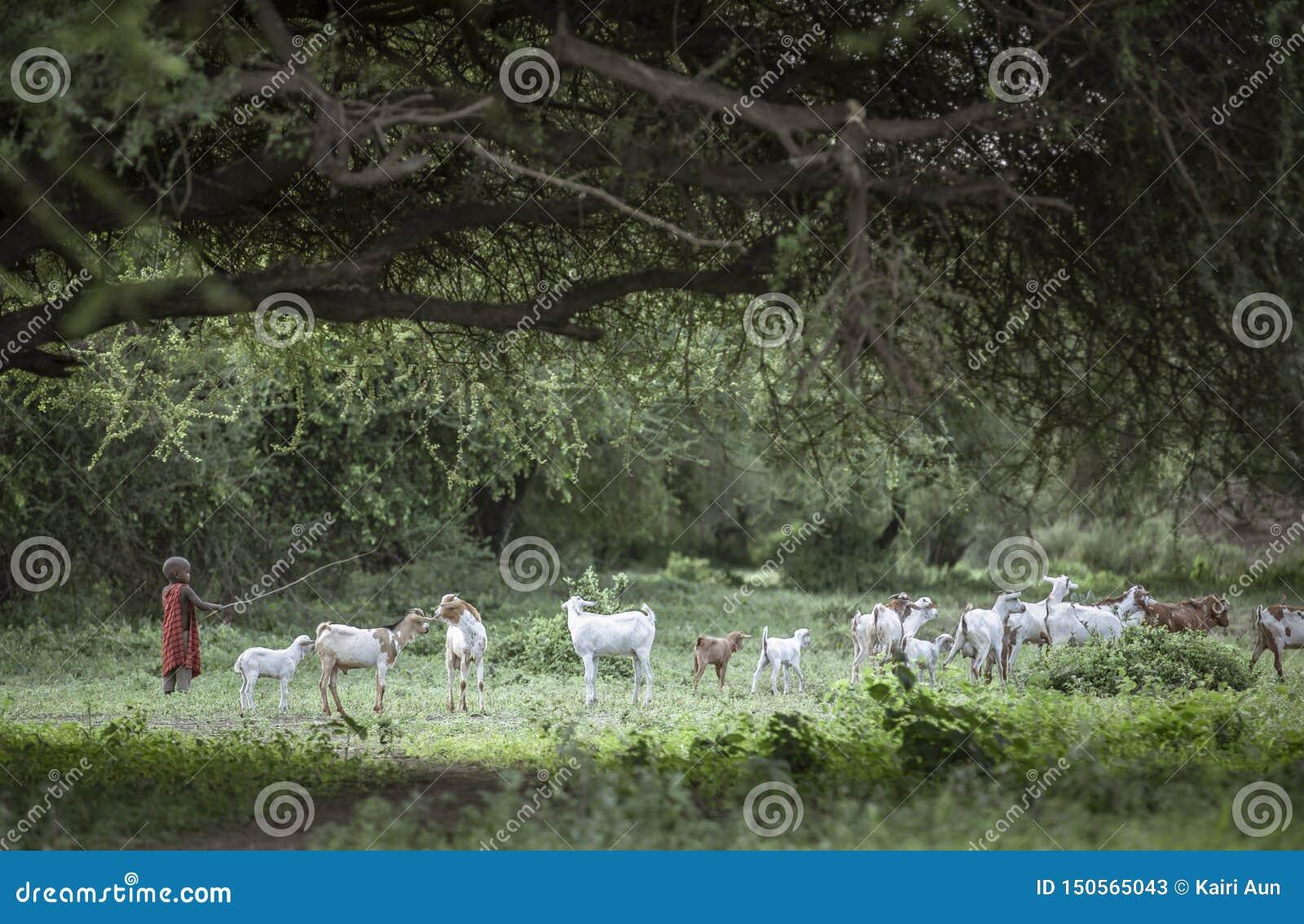 Ragazzo di Maasai che raduna le capre