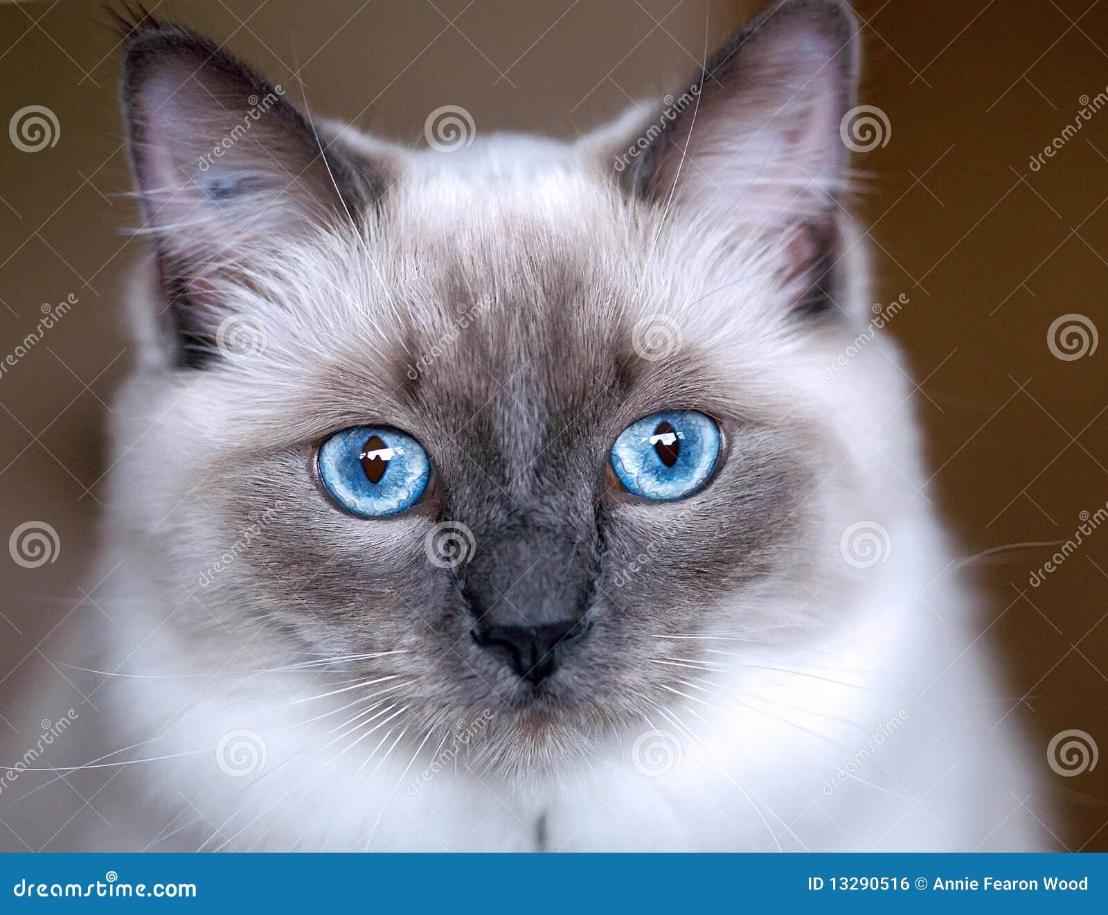 Ragdoll котенка