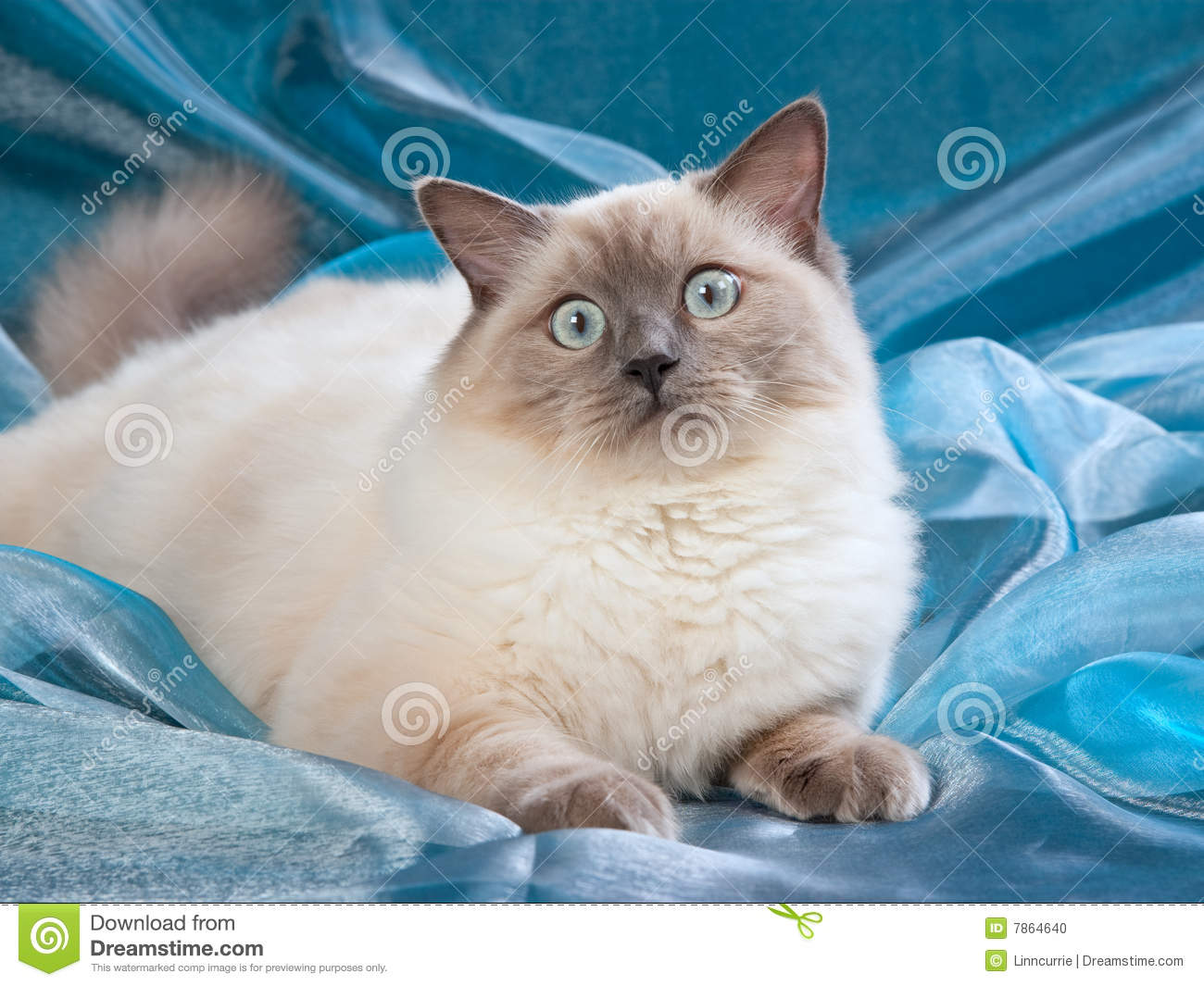 Ragdoll Blue Point Cat Stock Photo - Image: 7864640