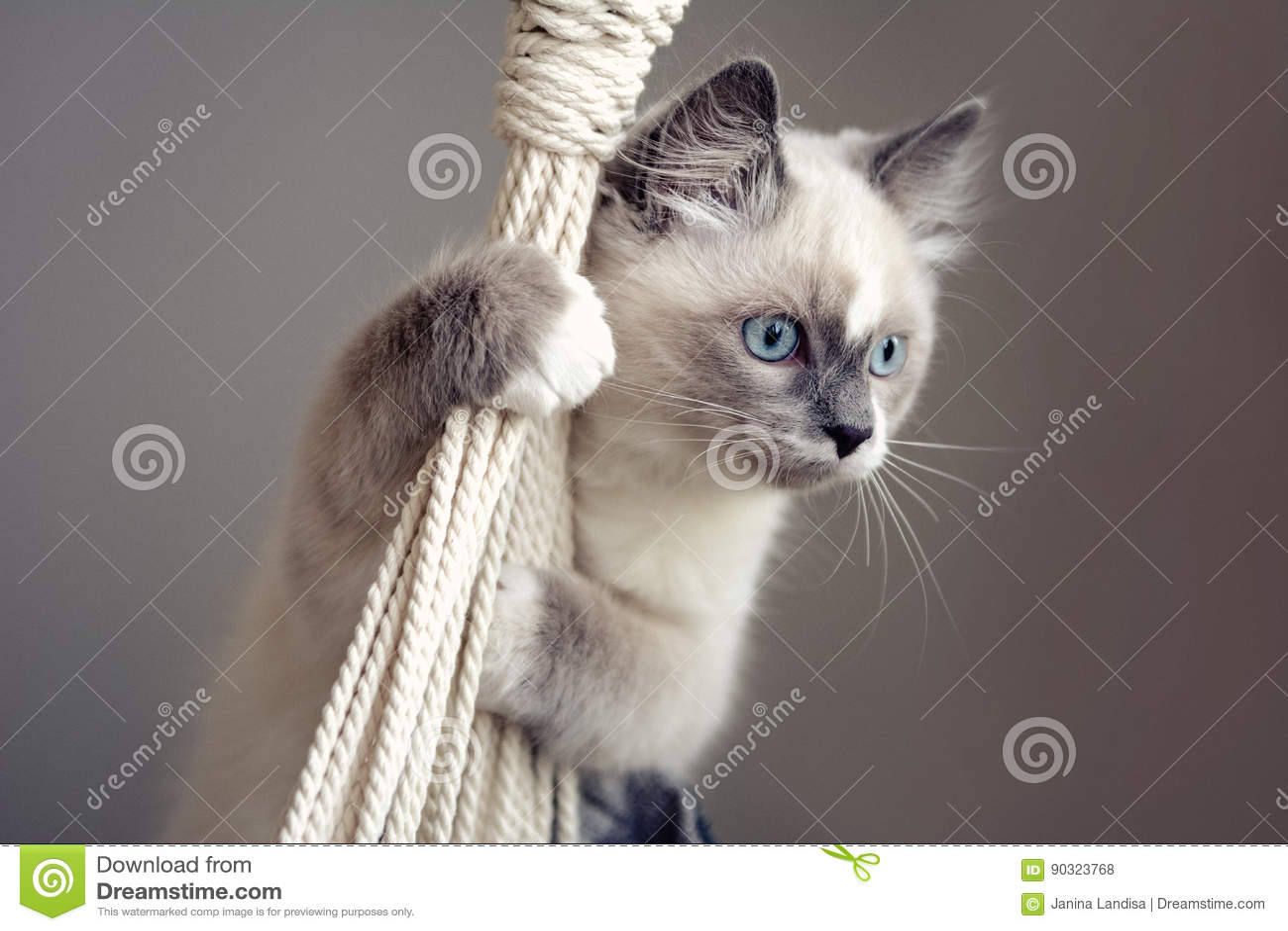 Ragdoll cat climbing a rope