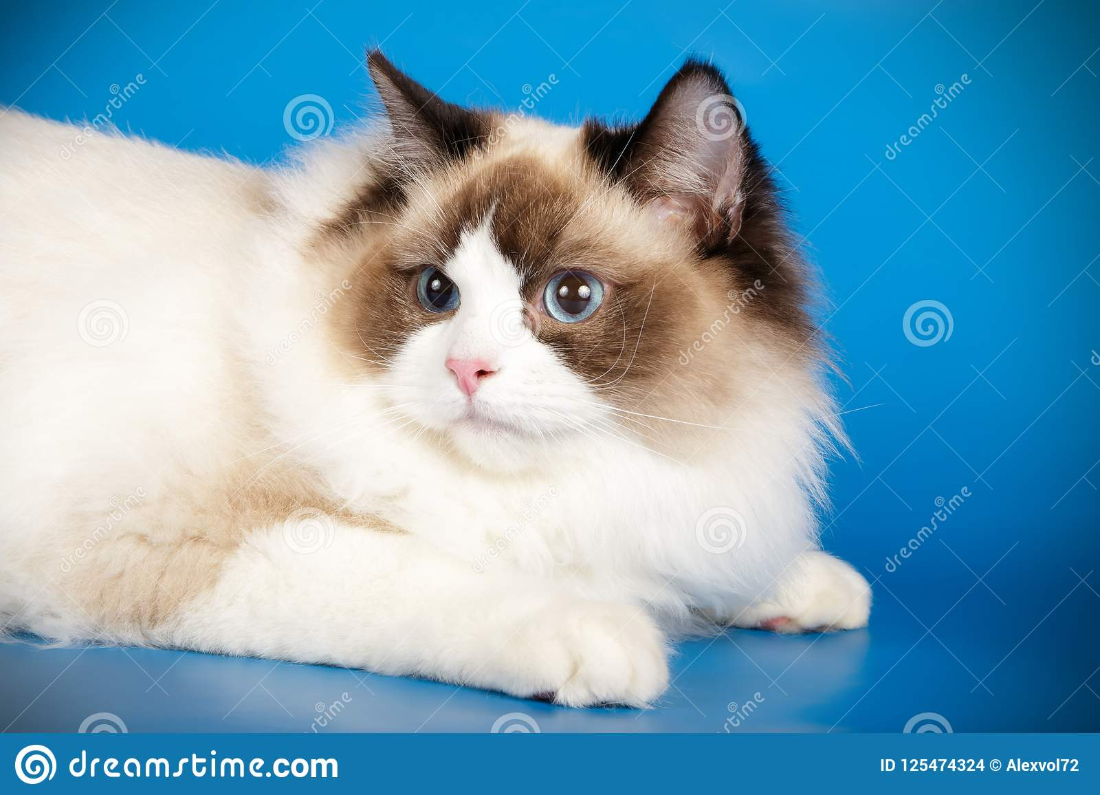 Ragdoll Cat On Colored Backgrounds Stock Photo Image Of Furry