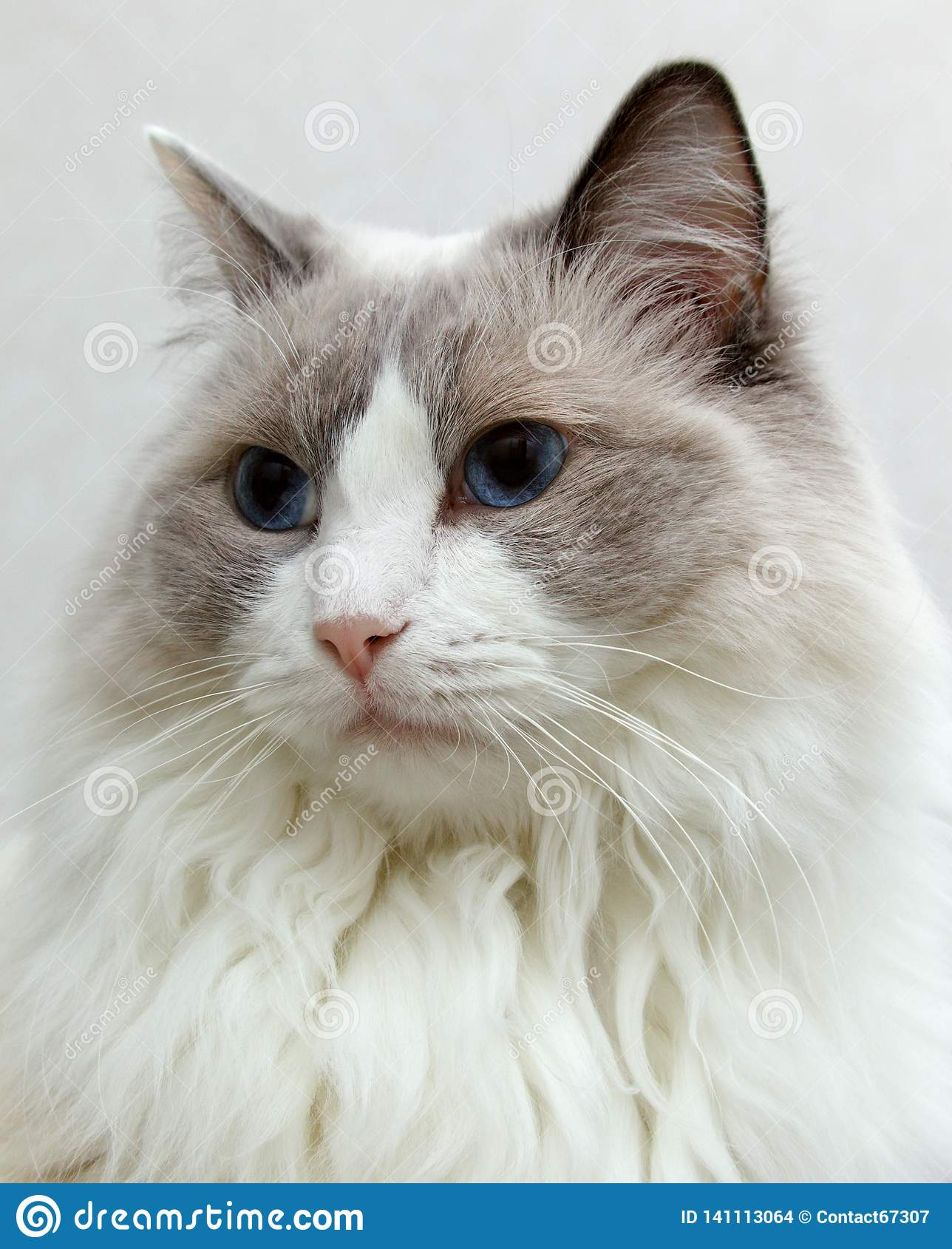Ragdoll Cat portrait with a bright background