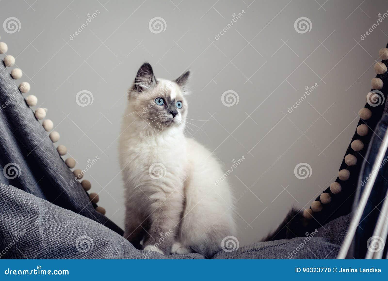 Ragdoll cat sitting
