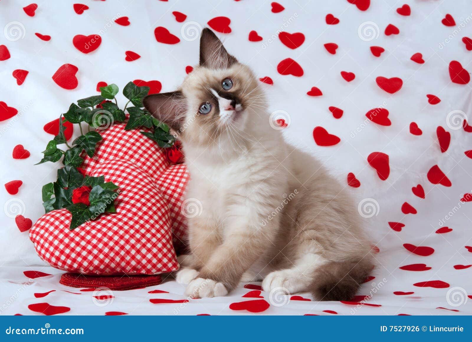 Ragdoll Kätzchen mit Valentinsgrußthema