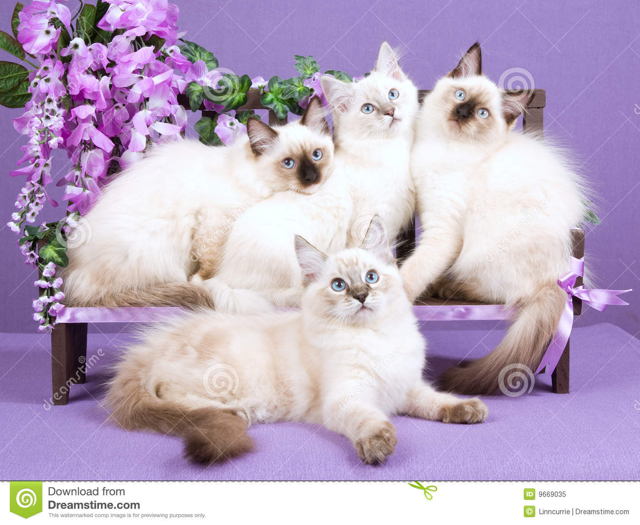 ragdoll kittens on mini bench with flowers stock image image of