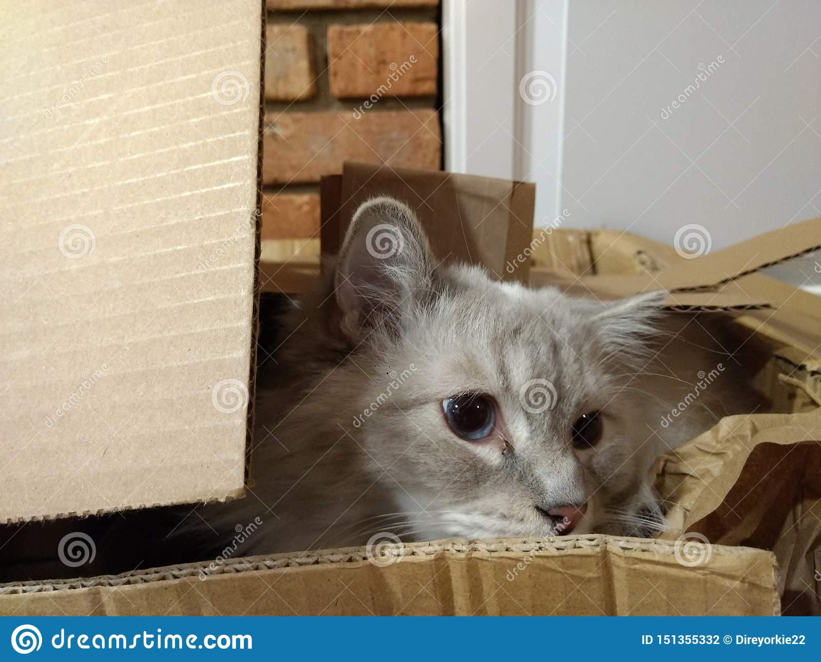 Ragdoll męski kot w pudełku