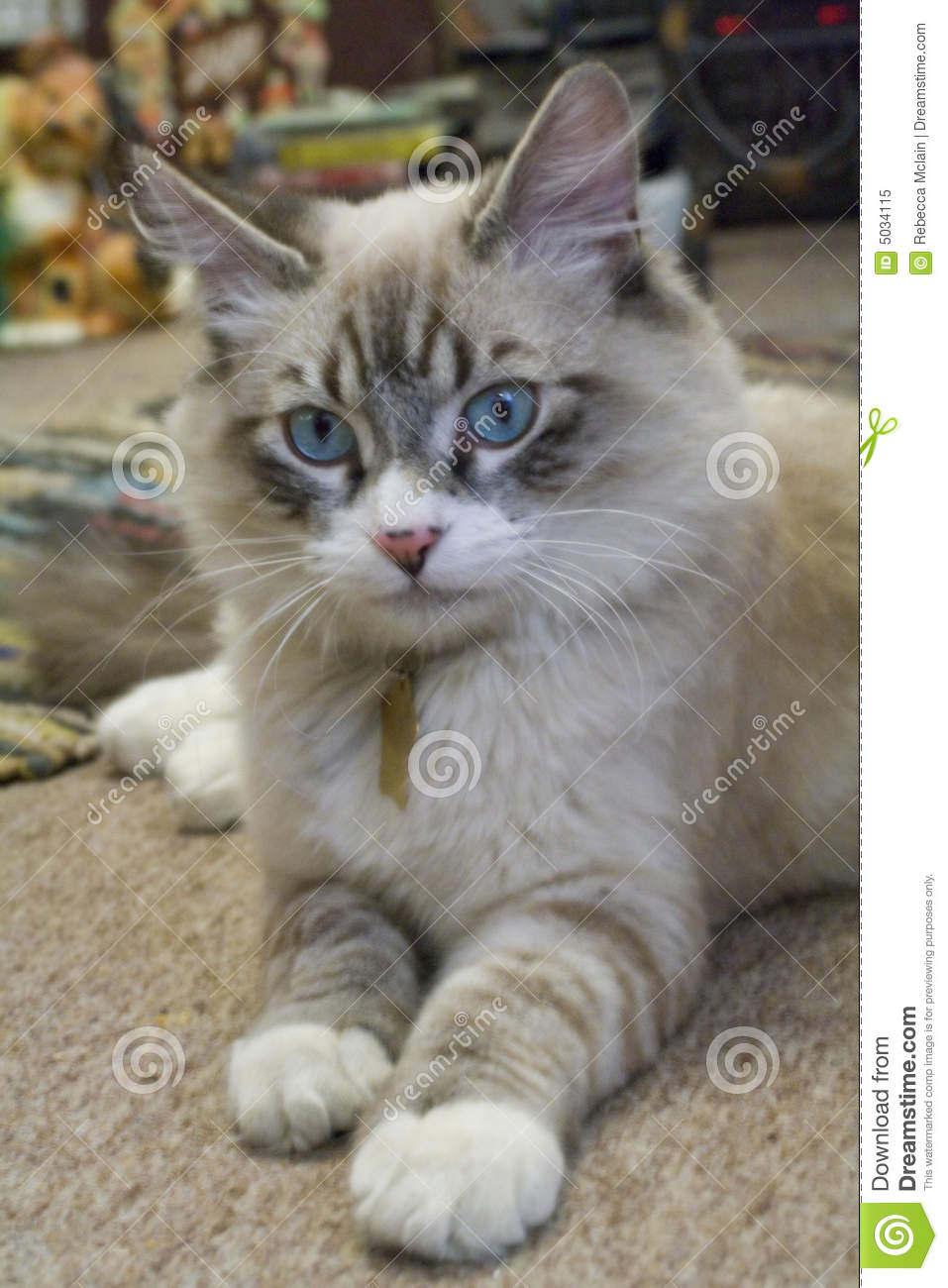 Ragdoll Mix Kitten Royalty Free Stock Image