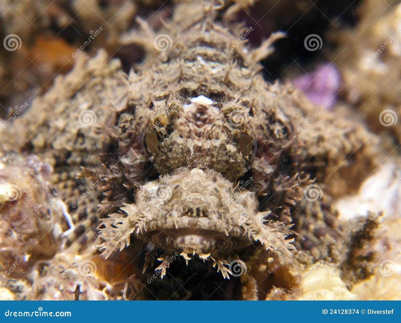 Raggy scorpaenopsis scorpianfish venosa