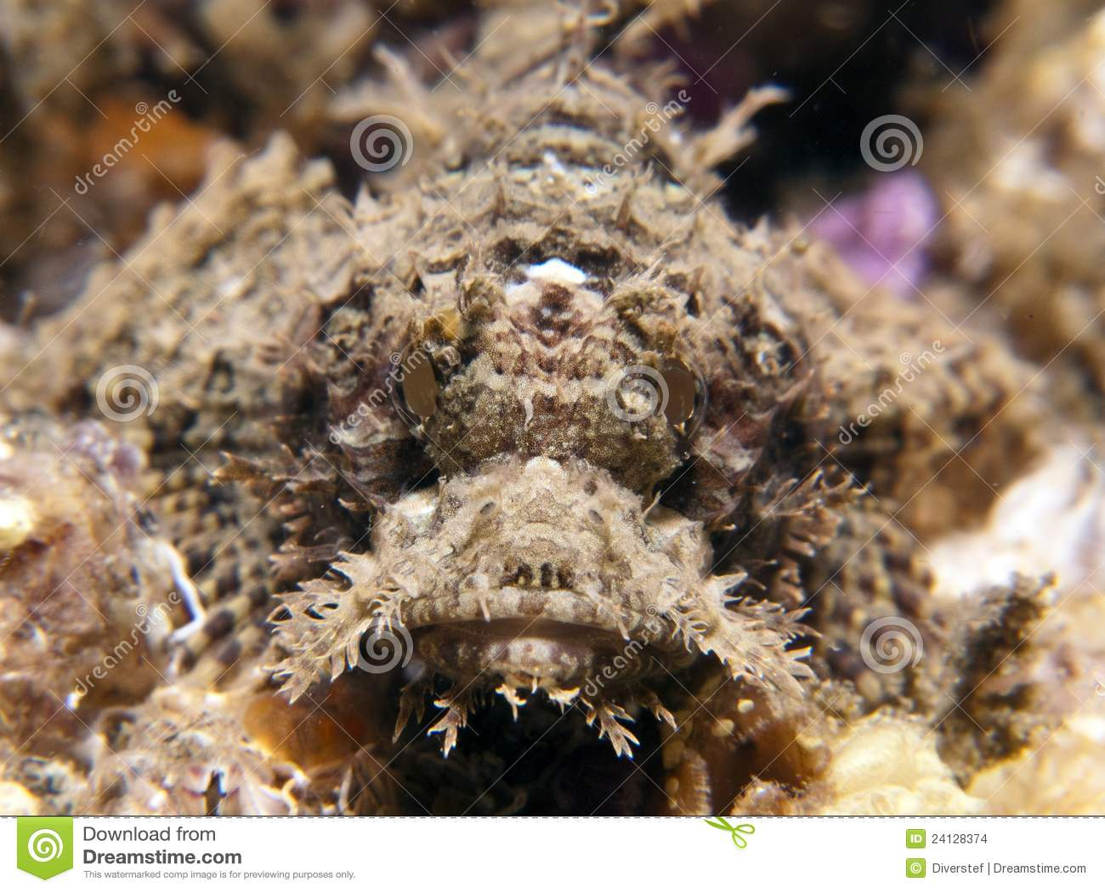 Raggy scorpaenopsisscorpianfishvenosa