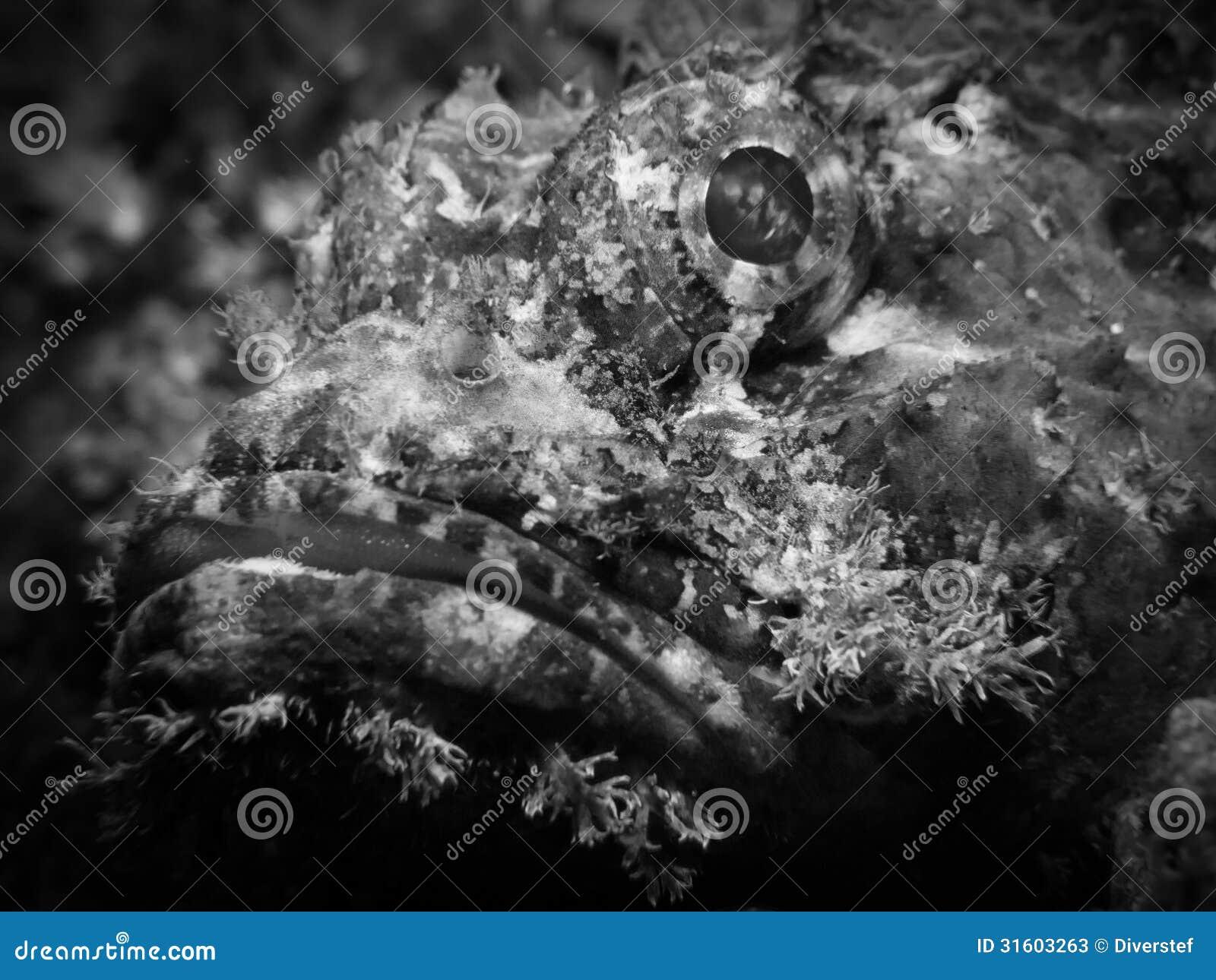 Raggy Scorpianfish, Scorpaenopsis venosa -