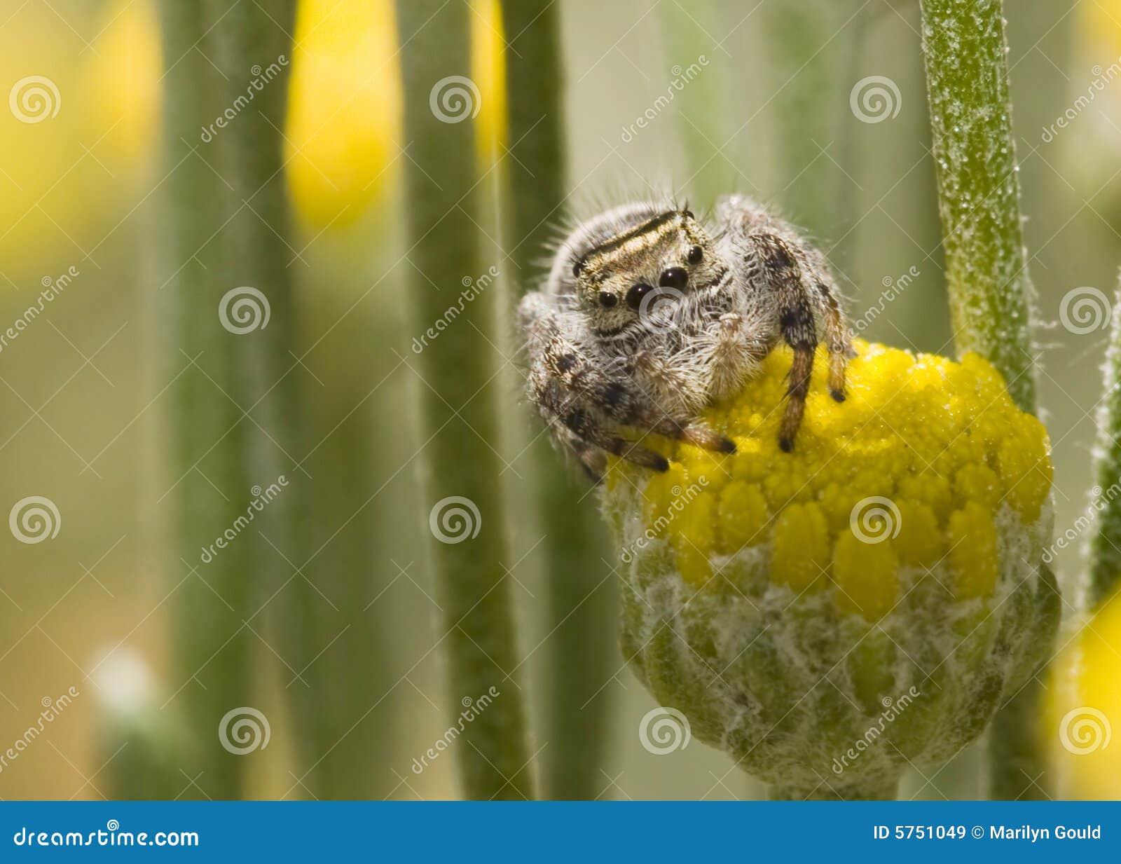 Ragno che si siede sul fiore