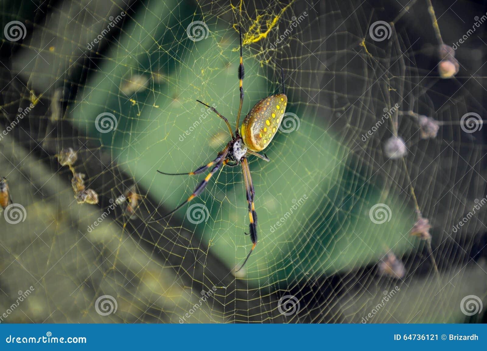 Ragno dorato del globo nel parco nazionale di Corcovado, Costa Rica