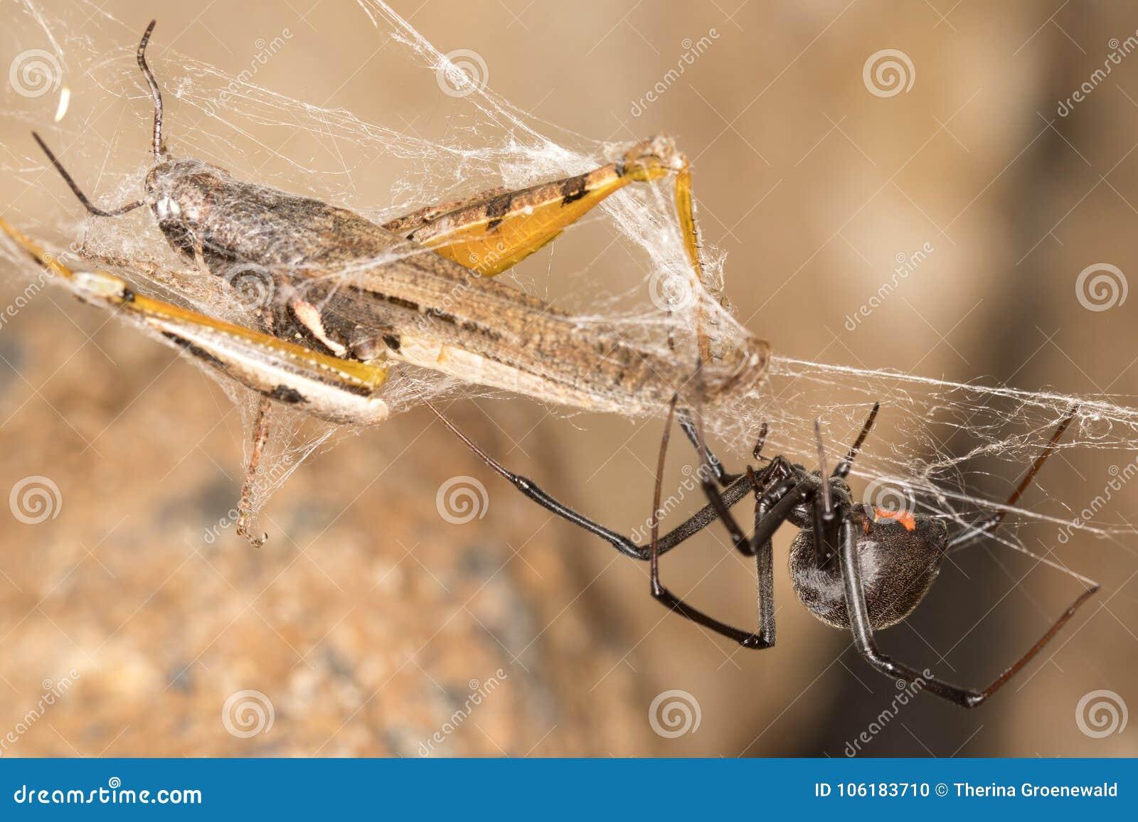 Ragno e fermo della vedova nera Le vedove nere sono ragni rinomati identificati dal segno colorato e a forma di clessidra sui lor