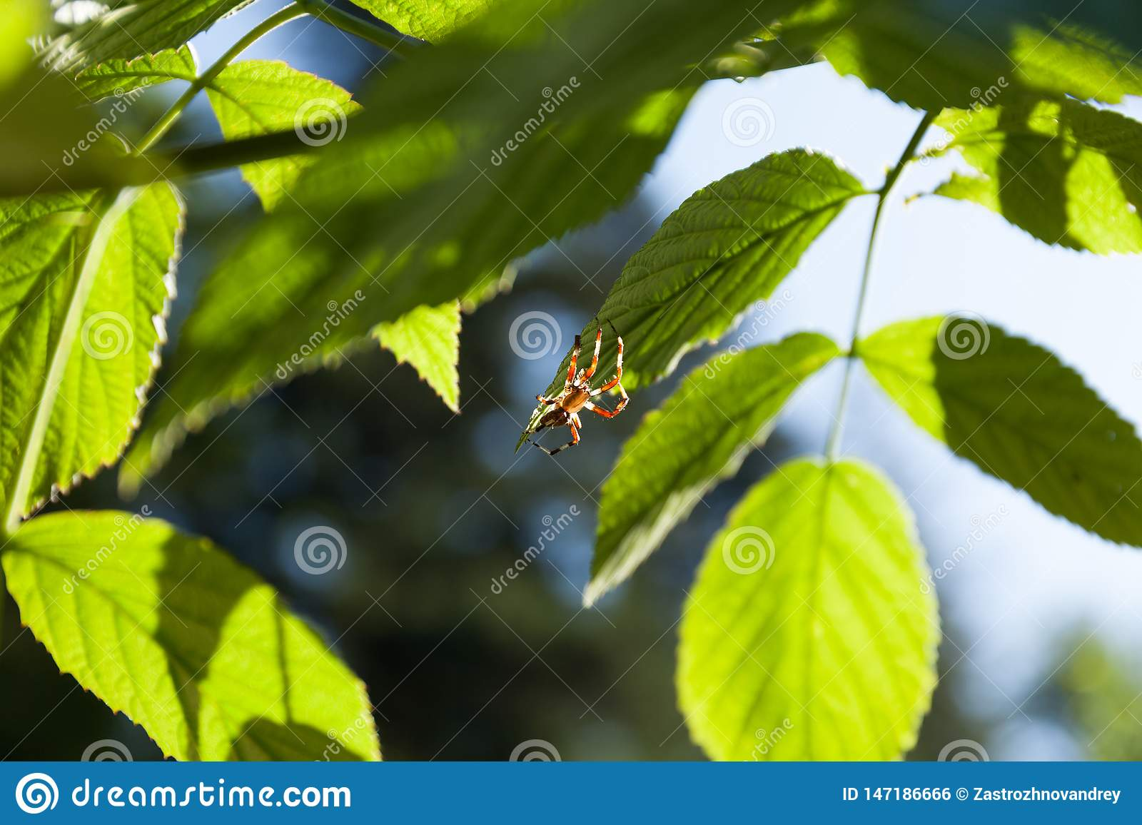 Ragno in foglie, macro Aracnide animale