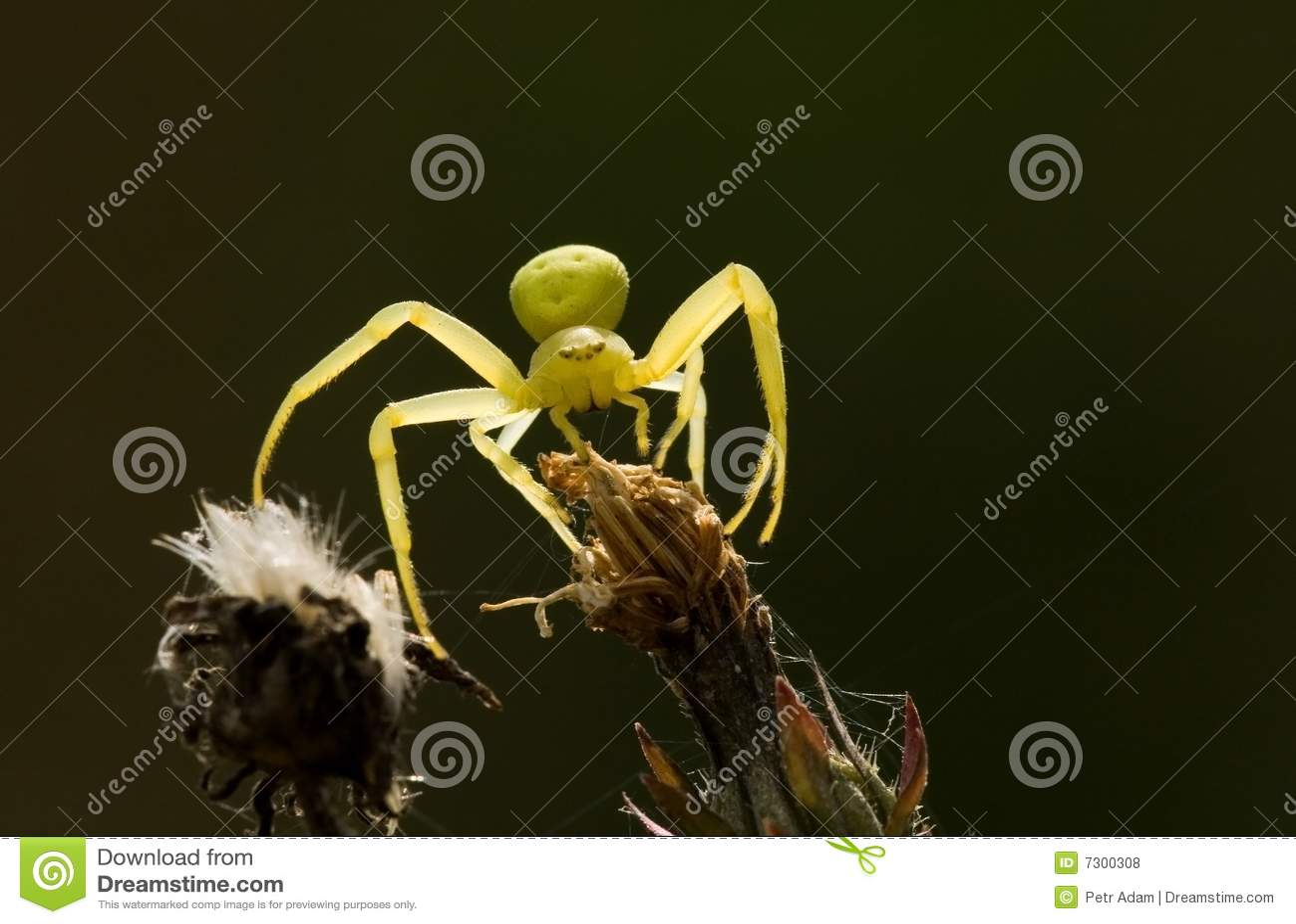 Ragno giallo