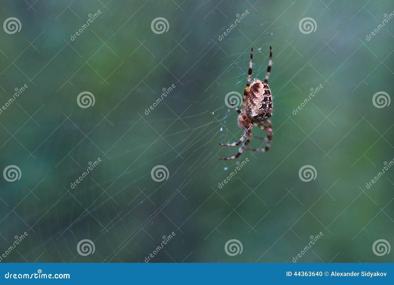 Ragno trasversale del T nella sua rete