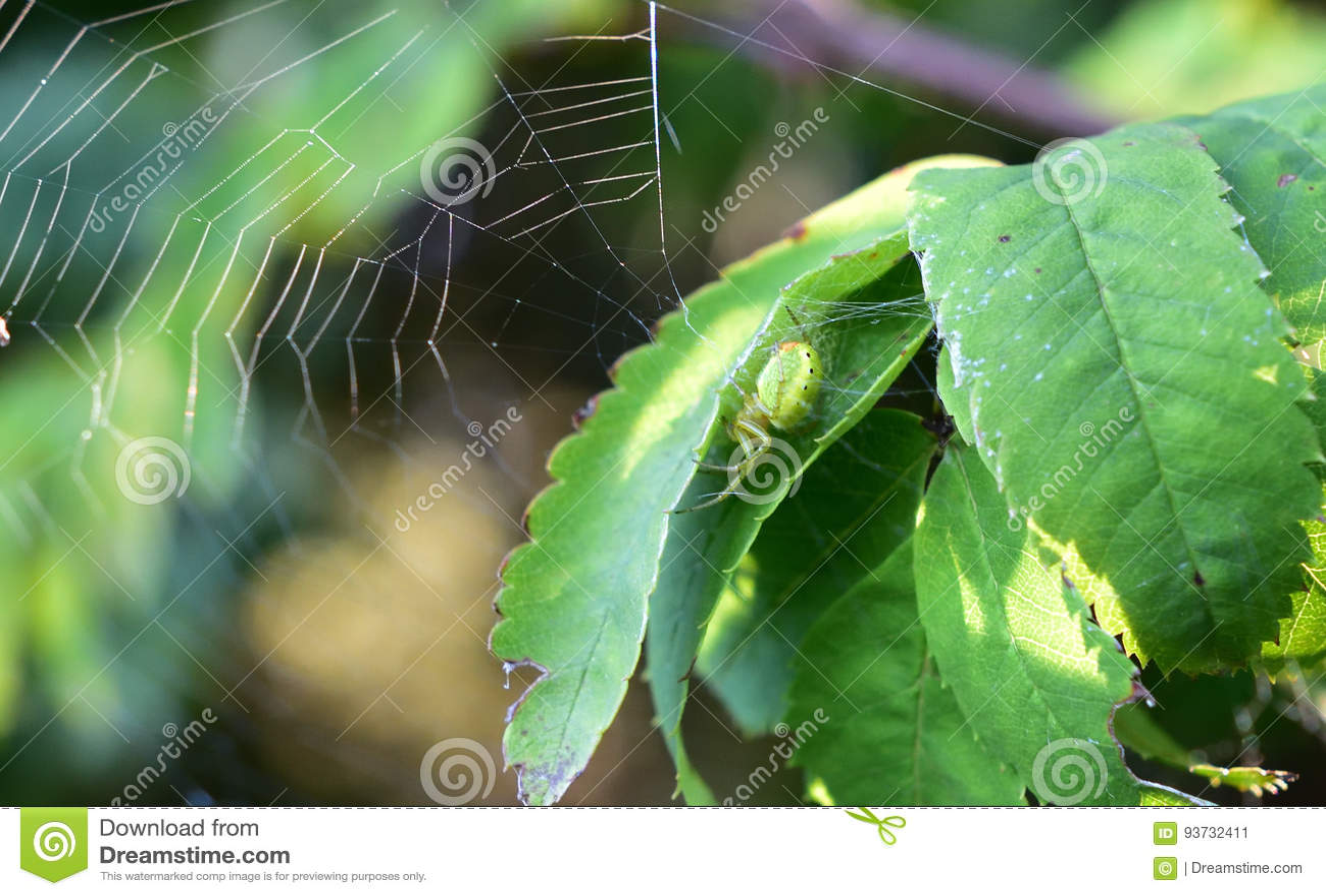 Ragno verde