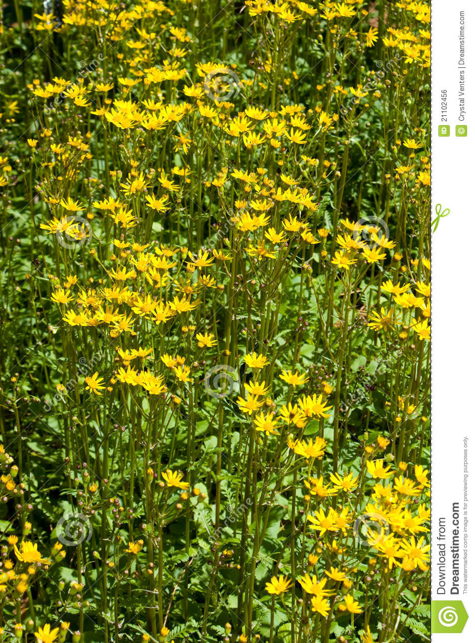 Yellow flowering tansy ragwort in the early summer season ...