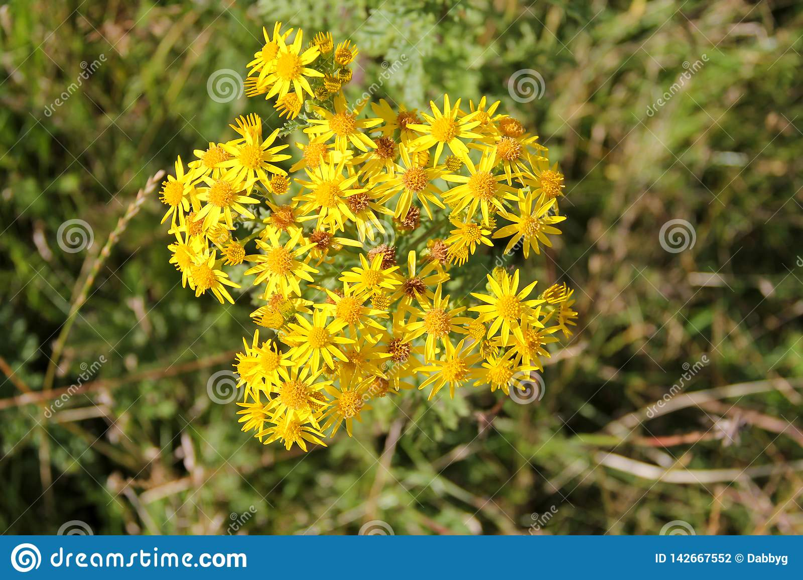 Ragwort roślina która zabija