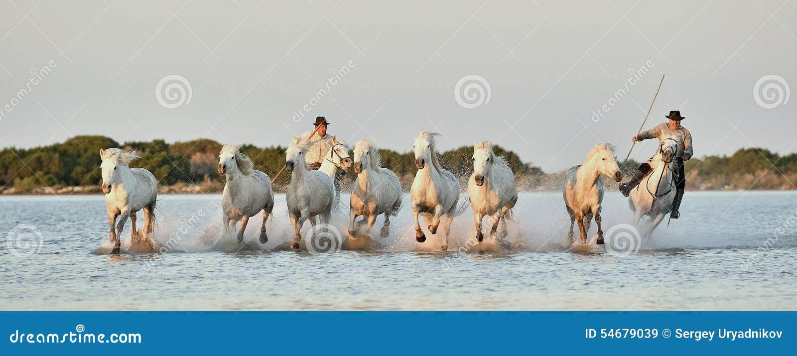 Raiders en Kudde van Witte Camargue-paarden die water doornemen
