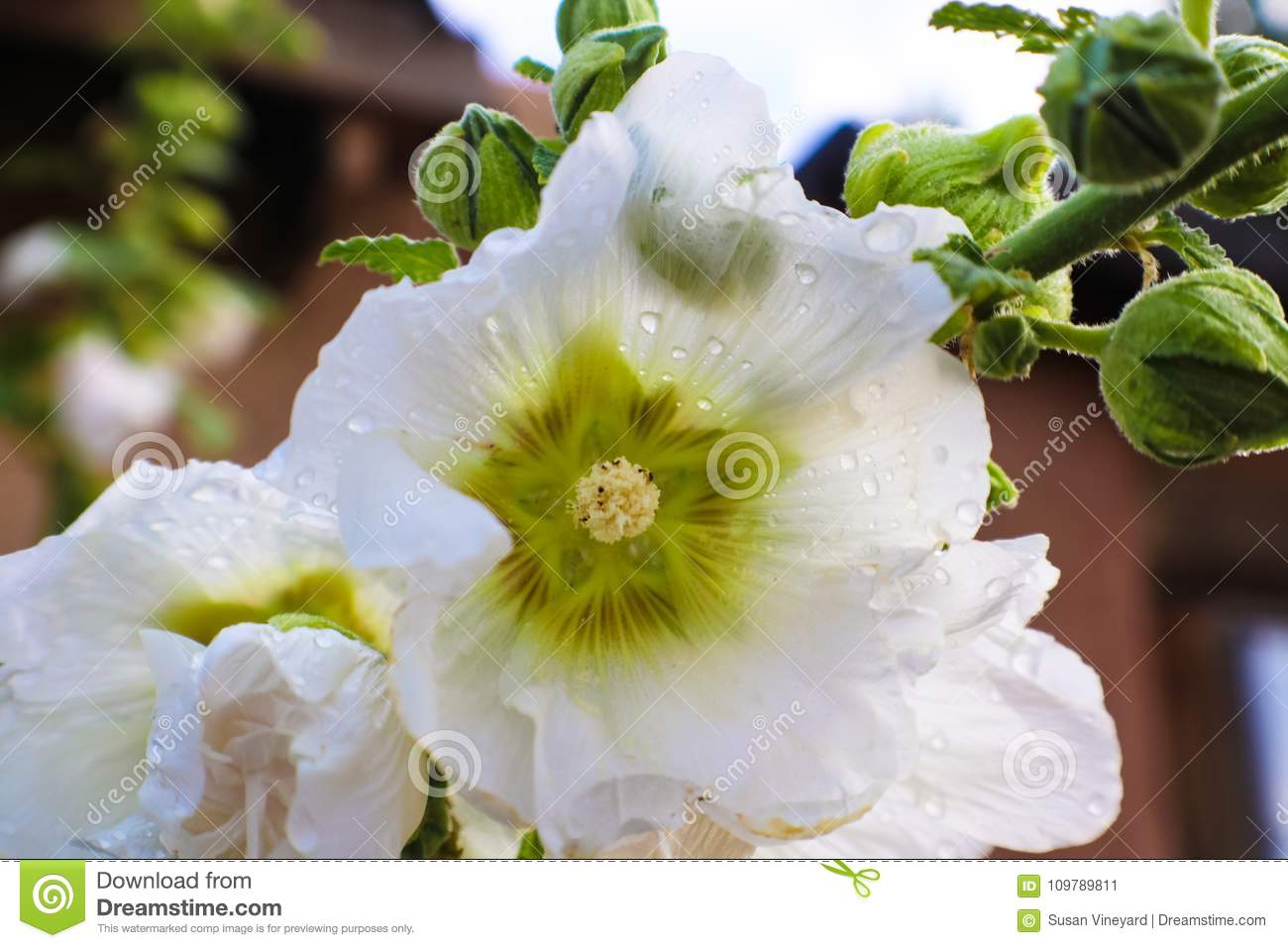 After the rain - Closeup of wet white hollyhock blossom with petals almost transparent and green kaleidoscope center - selective f