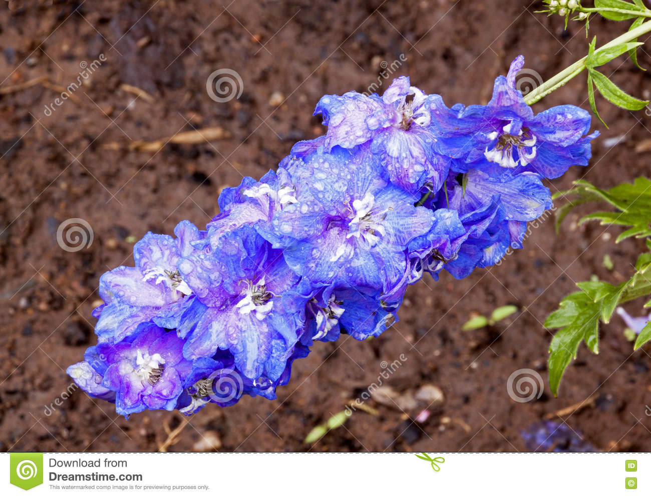 Rain Covered Blue Delphinium Flower With Rich Soaked Soil Stock