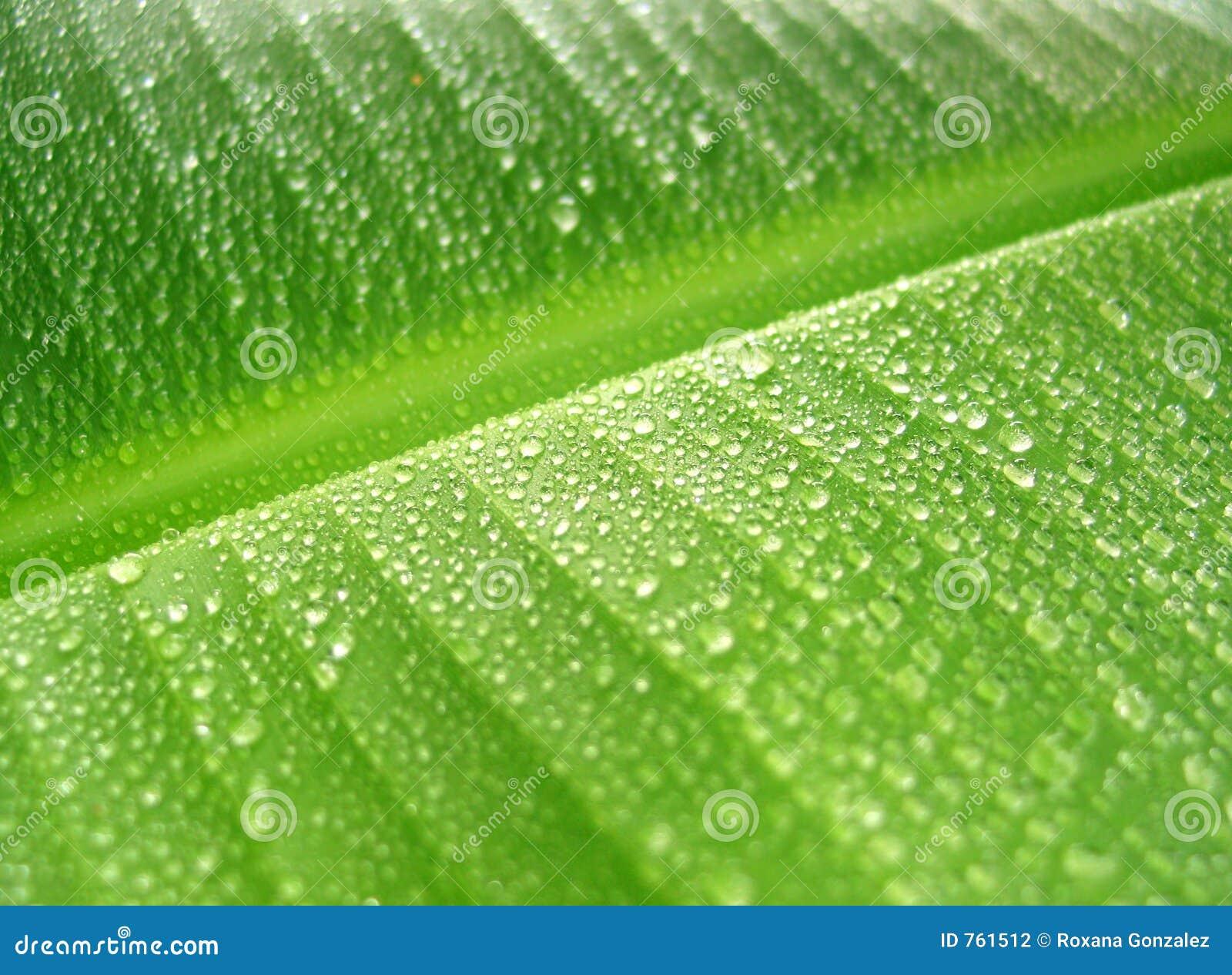 Rain Drops On Banana Leaf Stock Photography - Image: 761512