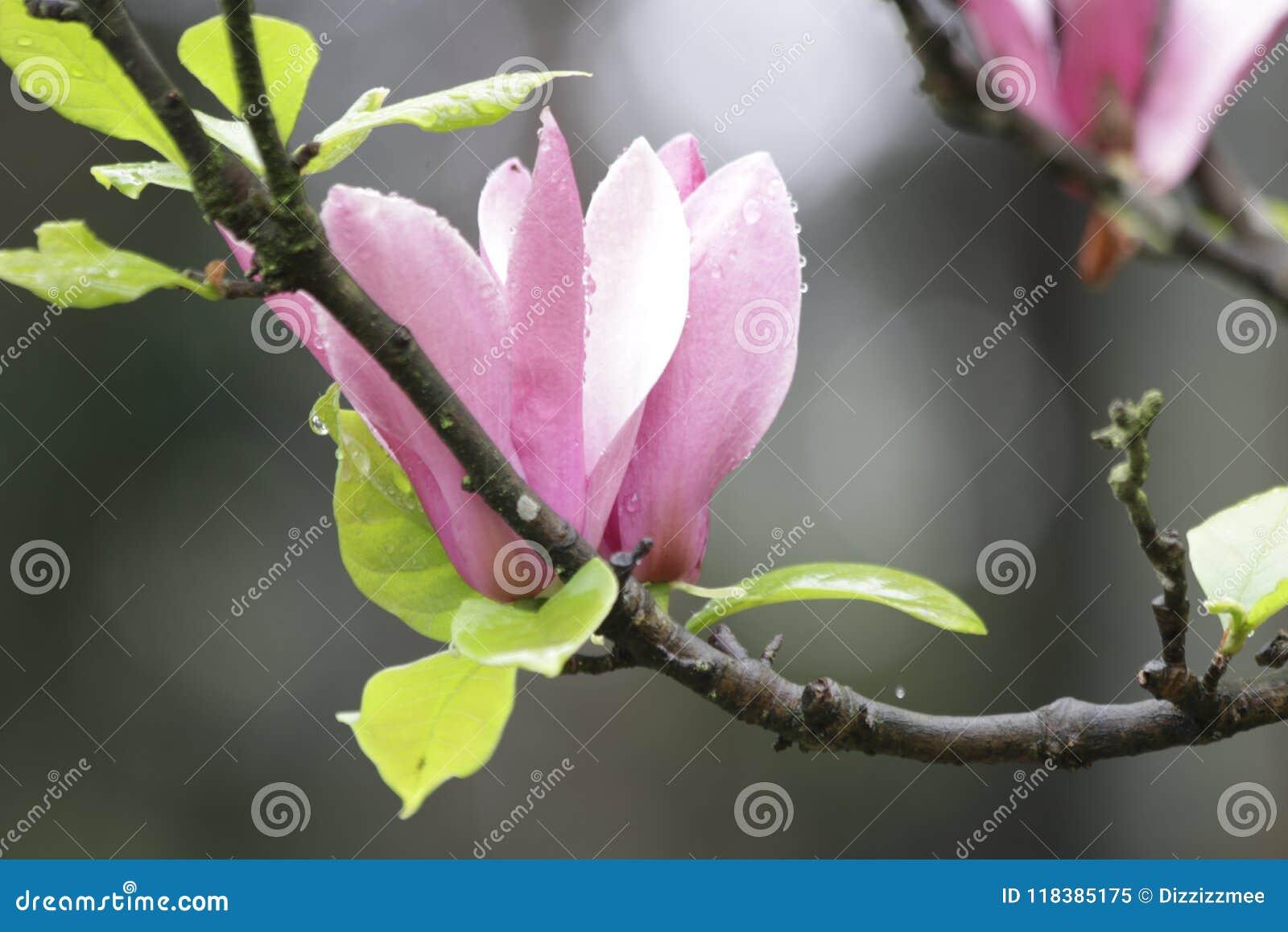 Rain Drops On Pink Magnolia Flower Spring Season Stock Image