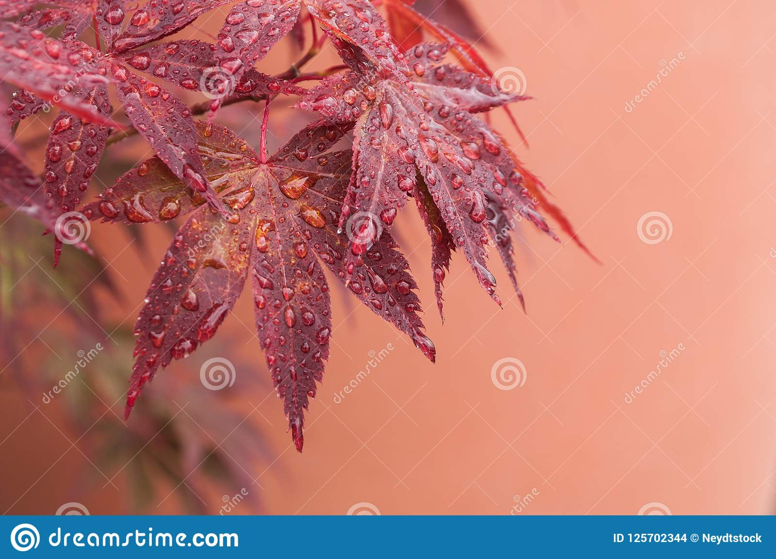 rain drops on red japanese maple leaves in a japanese